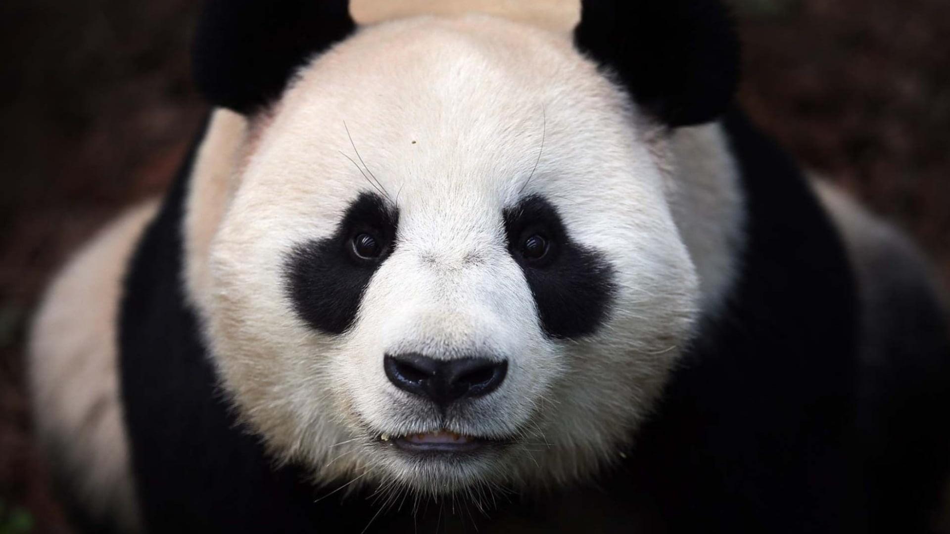 Res: 1920x1080, white and black Panda HD wallpaper