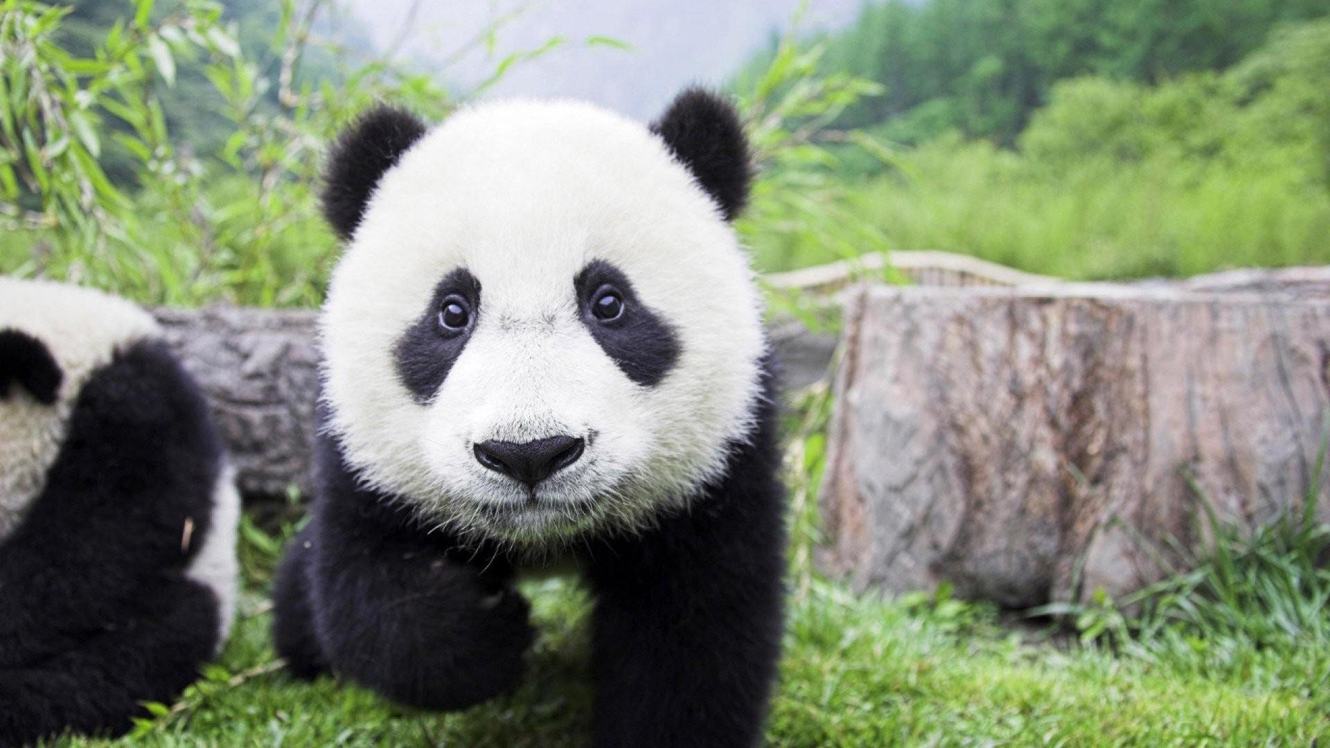 Res: 1920x1080, Cute Baby Panda Wallpaper