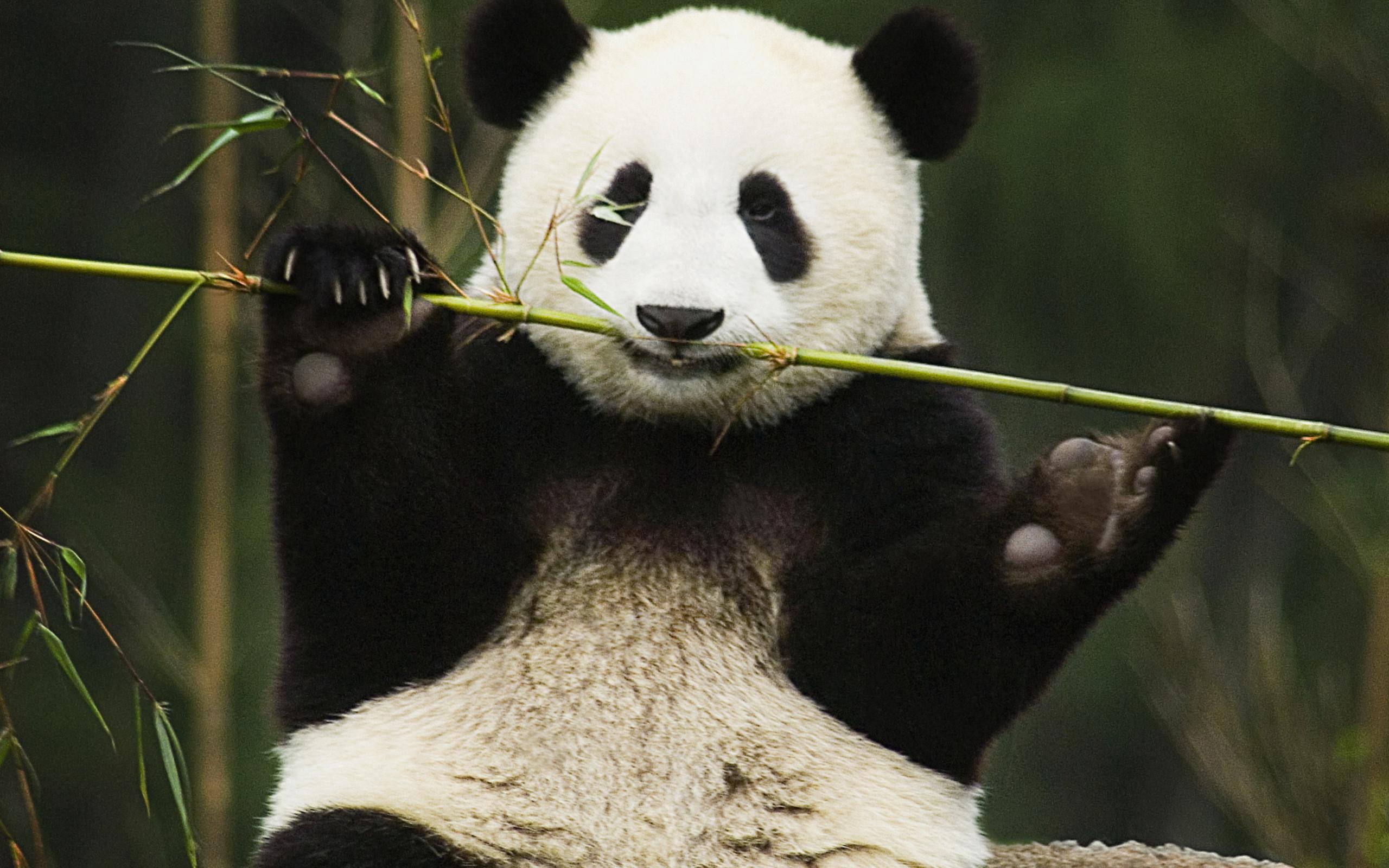 Res: 2560x1600, HD Wallpaper   Background Image ID:429544.  Animal Panda