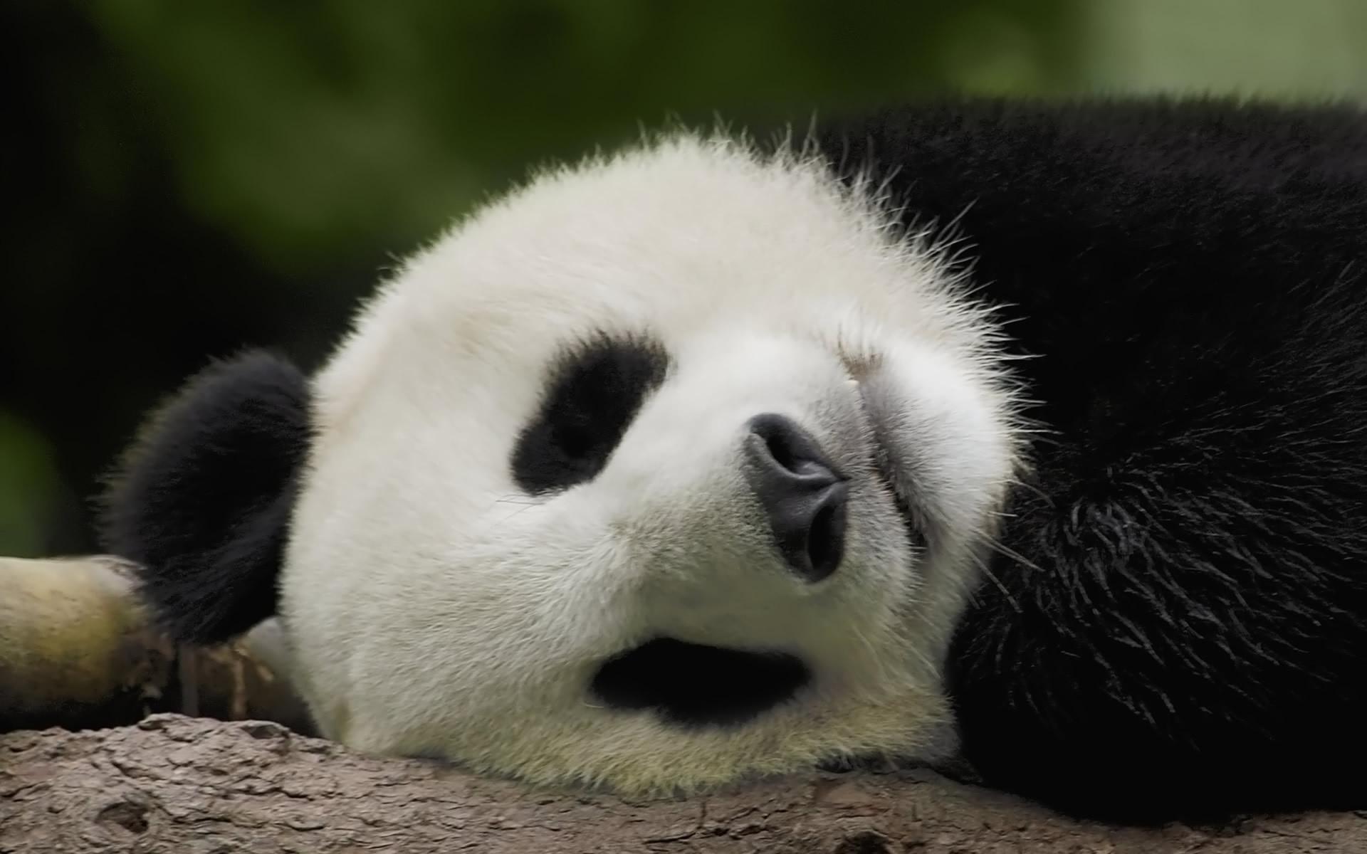 Res: 1920x1200, Panda
