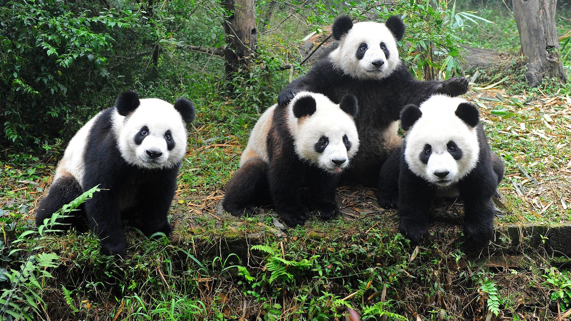 Res: 1920x1080, New Panda HD Quality Wallpapers for PC & Mac, Laptop, Tablet, Mobile Phone