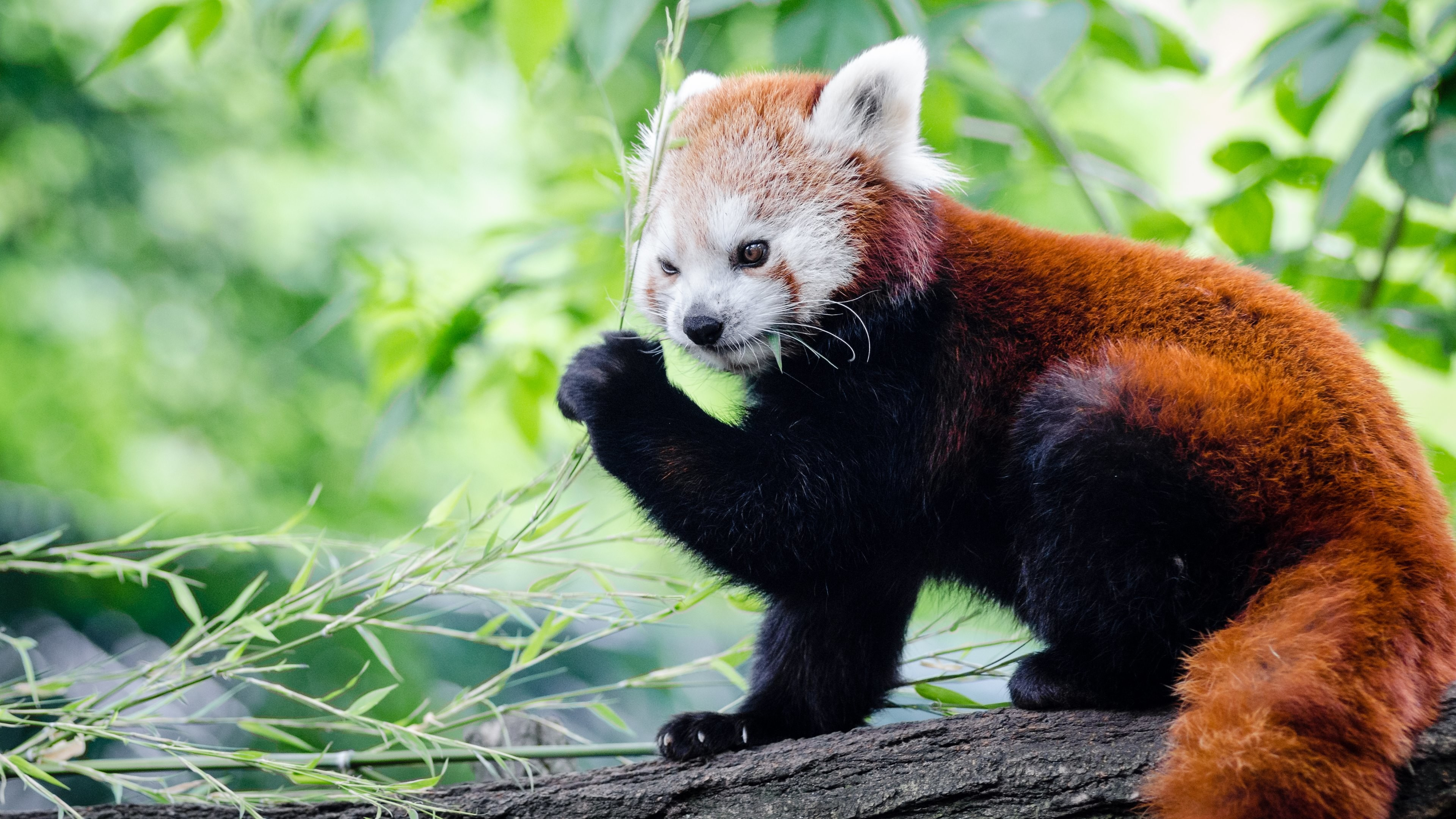 Res: 3840x2160, Red Panda Wallpapers 20 - 3840 X 2160
