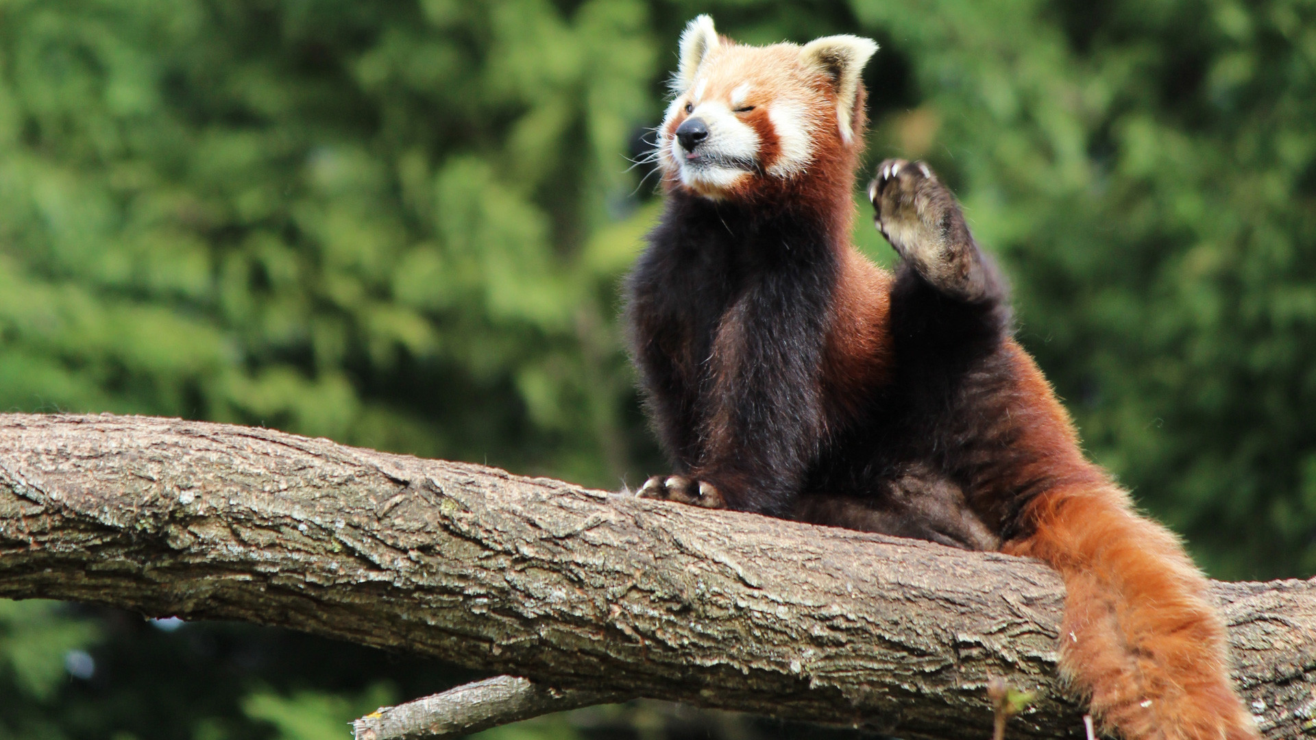 Res: 1920x1080, Red Panda HD Background Wallpapers