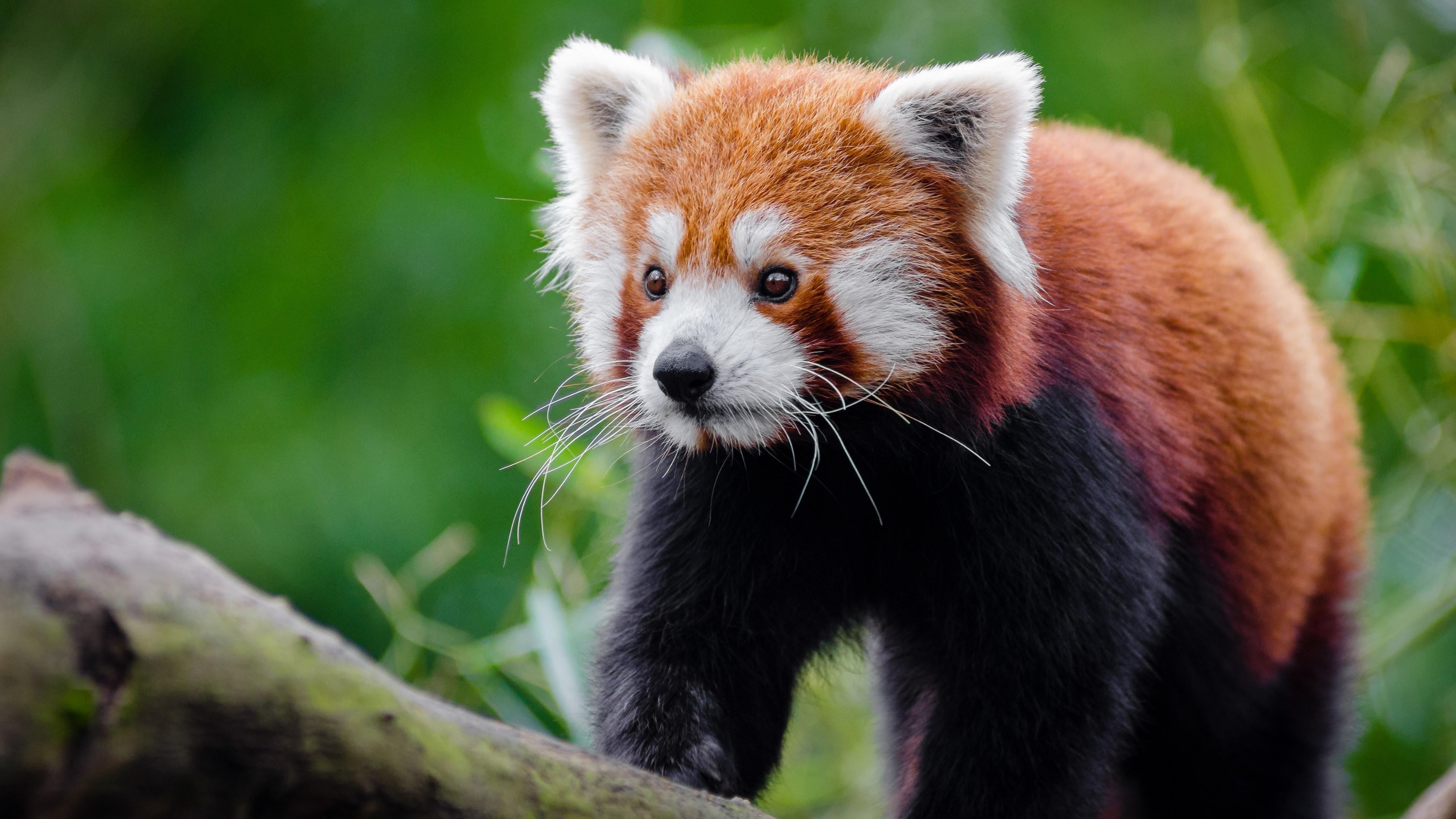 Res: 3840x2160, Red Panda HD: Reality Red Panda HD Photos