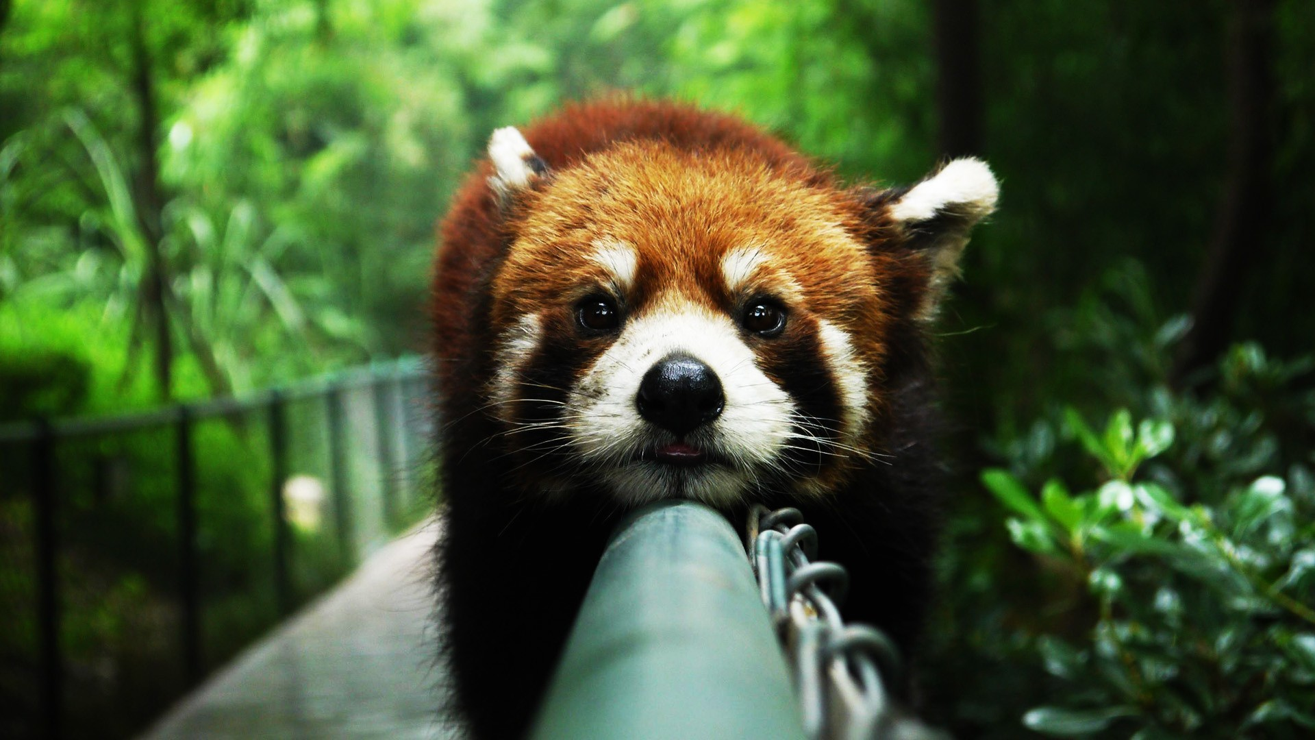 Res: 1920x1080, wallpaperstocknet81cute red panda wallpapers 36328 jpg