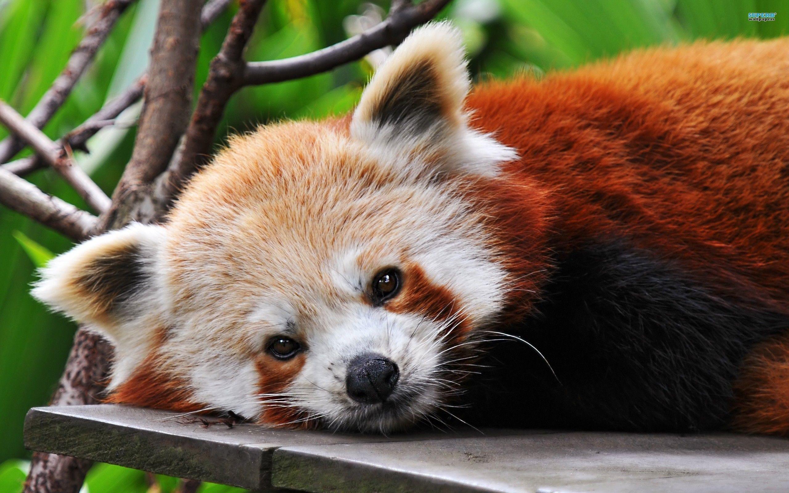 Res: 2560x1600, Red Panda Wallpaper 4