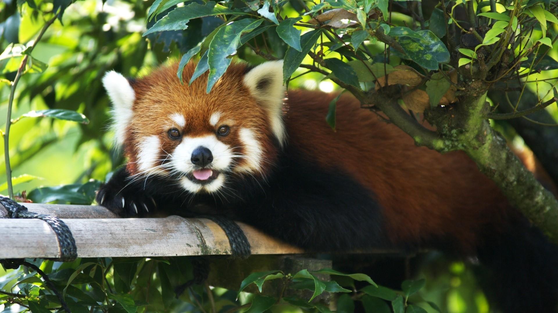 Res: 1920x1080, Red Panda Wallpaper 1080p