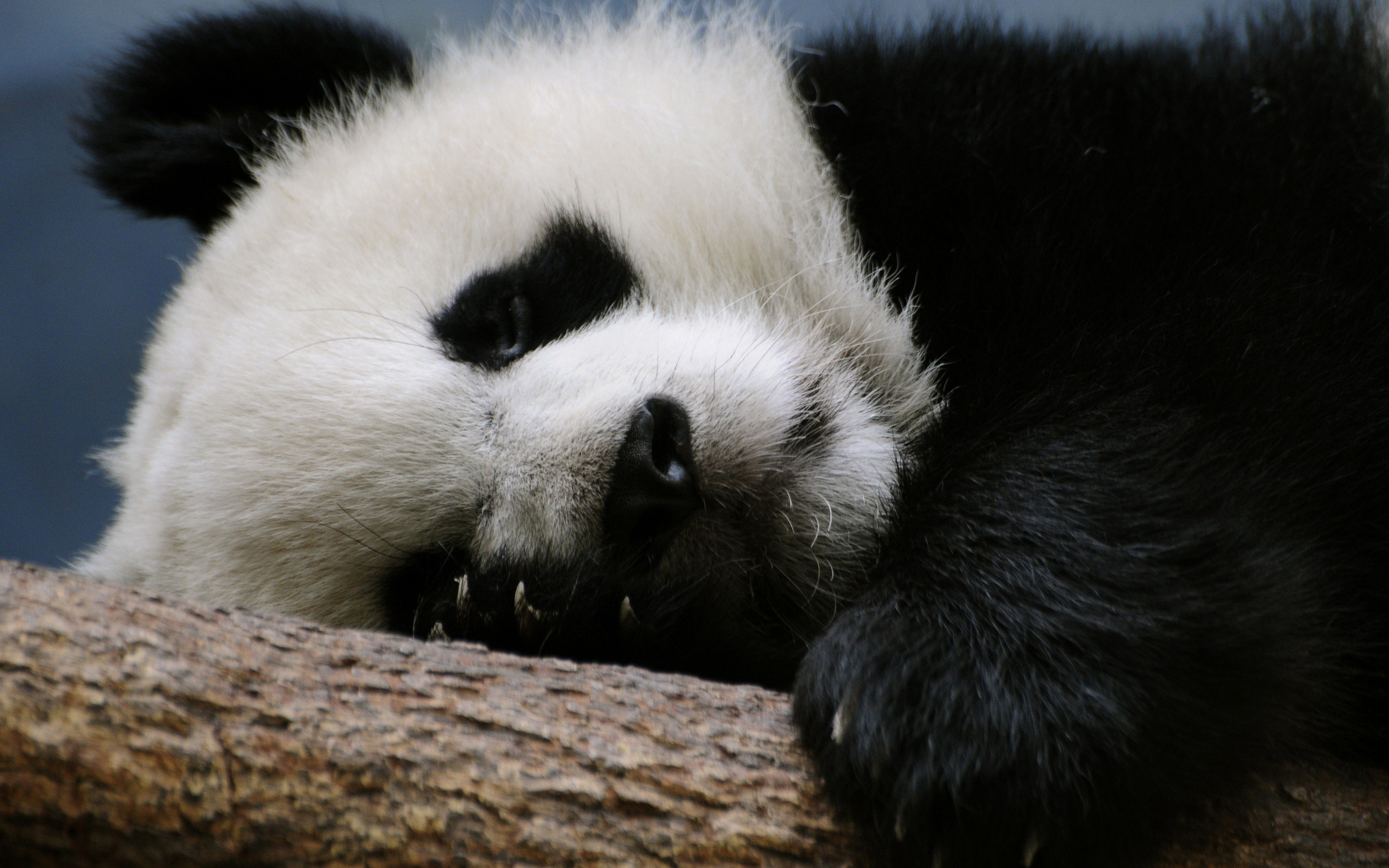 Res: 2560x1600, Baby Panda HD Wallpapers For Pc