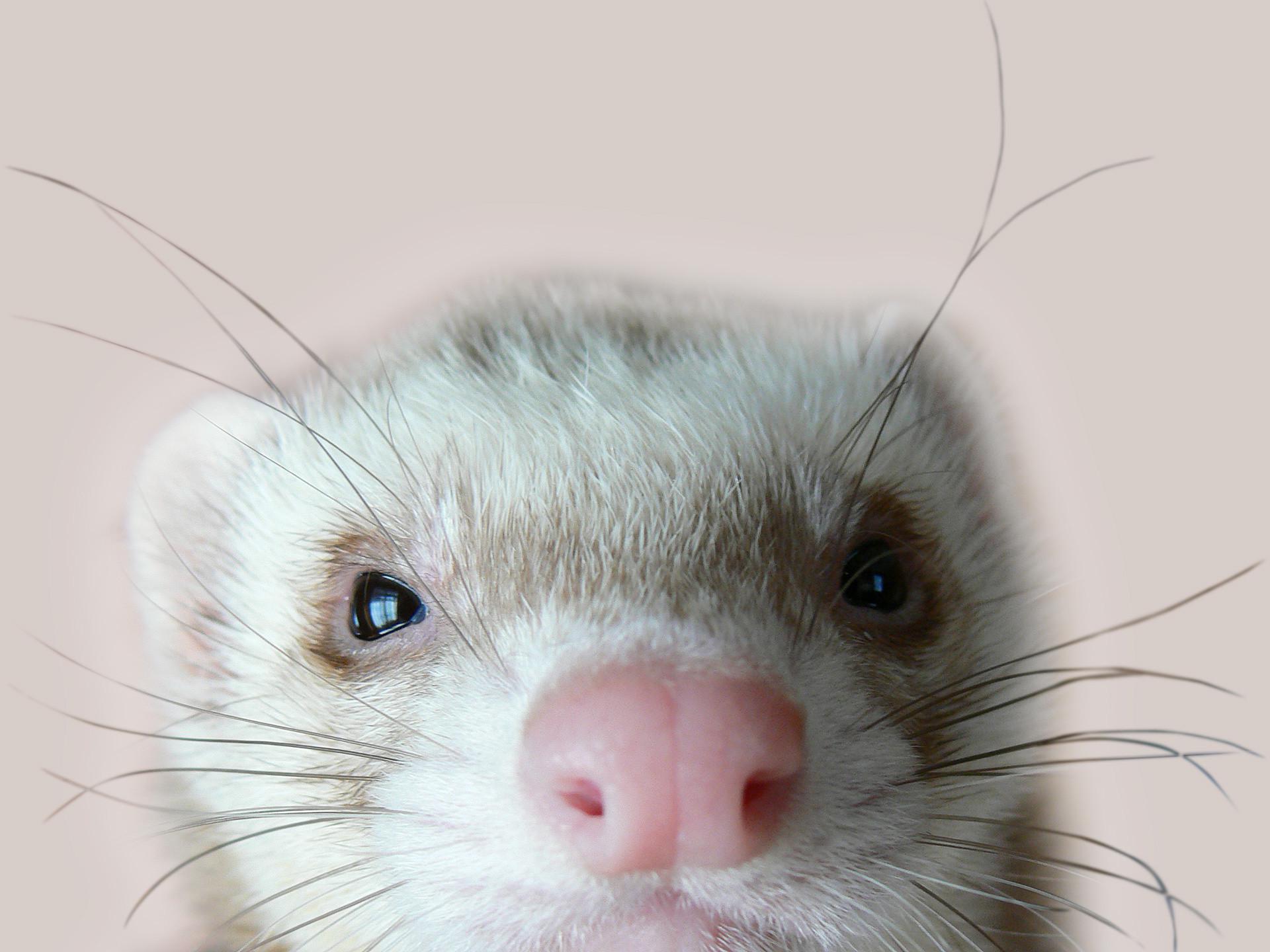 Res: 1920x1440, Cute Ferrets