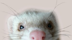 Cute Ferret wallpapers