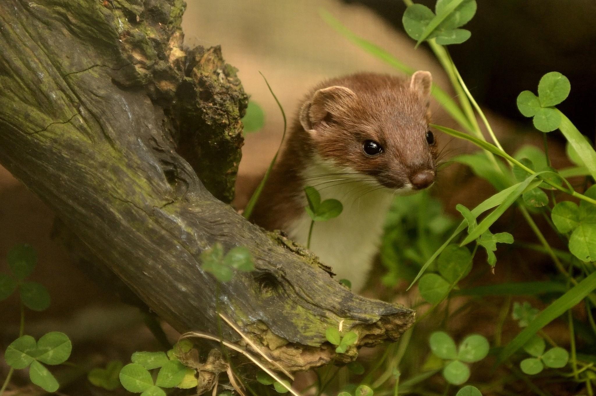 Res: 2048x1363, Cute Ferret Wallpaper