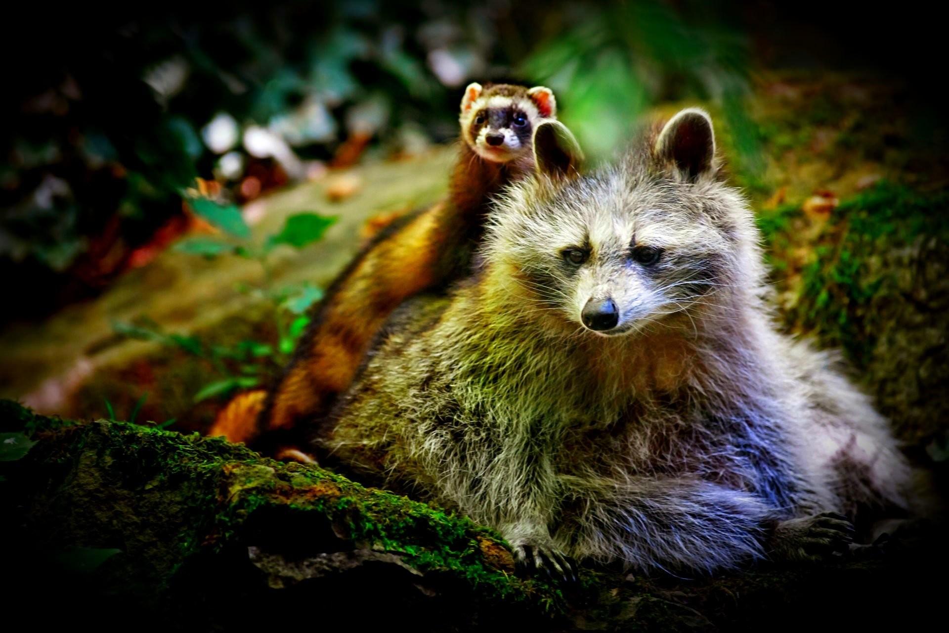 Res: 1920x1280, Animal - Cute Ferret Raccoon Wallpaper