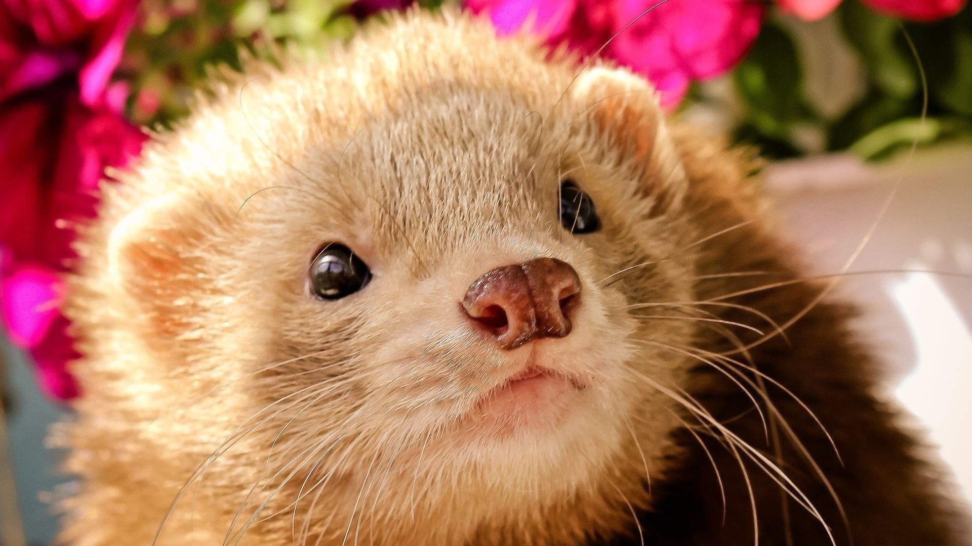 Res: 1920x1080, Get the latest ferret, face, eyes news, pictures and videos and learn all  about ferret, face, eyes from wallpapers4u.org, your wallpaper news source.