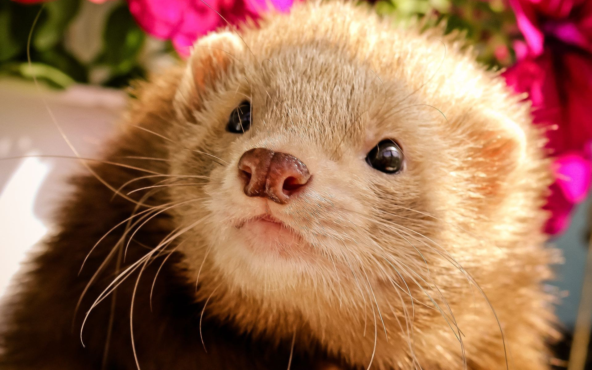 Res: 1920x1200, Ferret Wallpapers 14 - 1920 X 1200