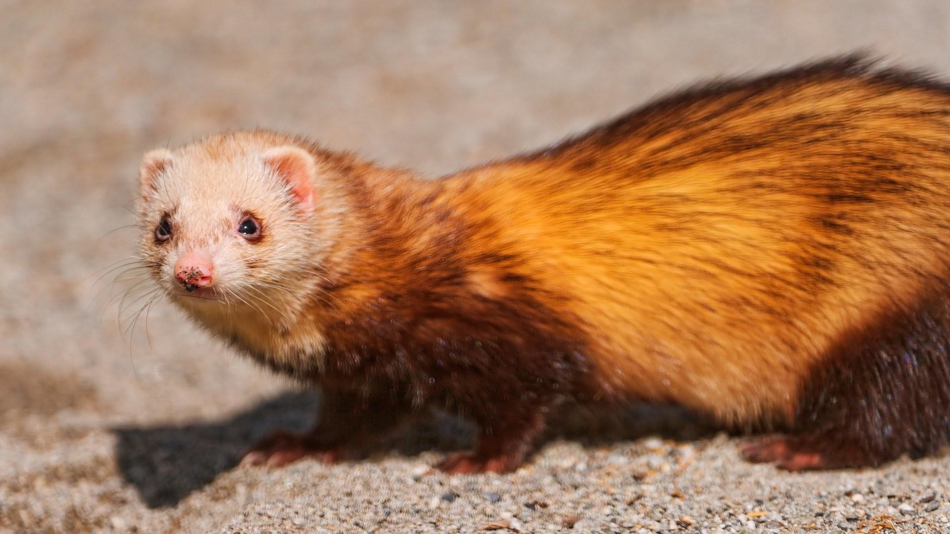 Res: 1920x1080, cute white ferret