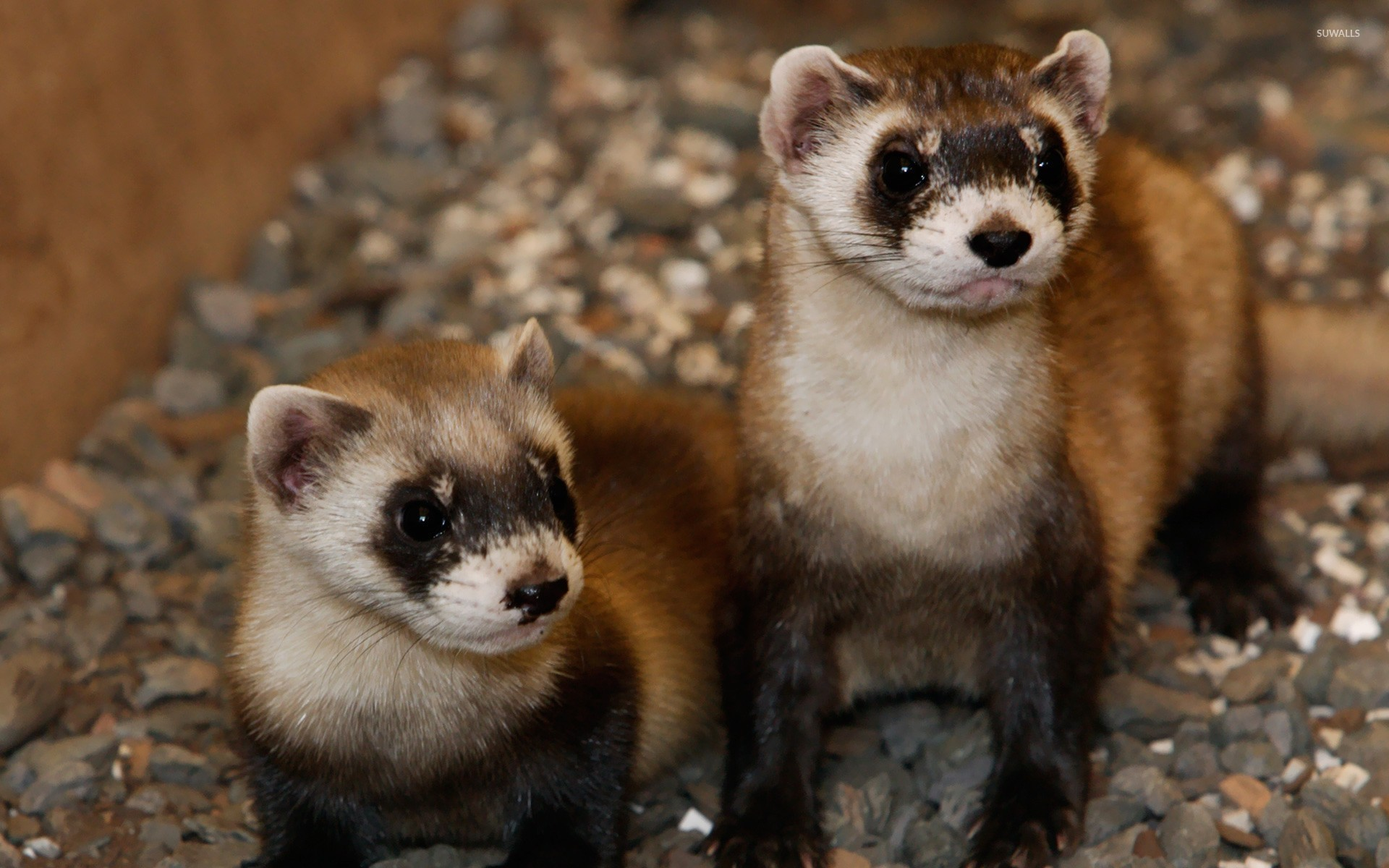 Res: 1920x1200, Couple of ferrets wallpaper