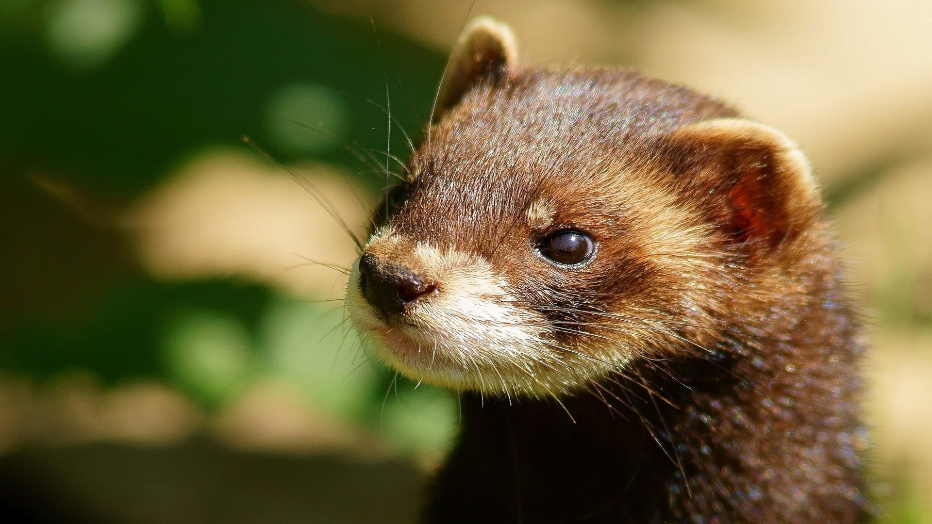 Res: 1920x1080, ferret, head, face