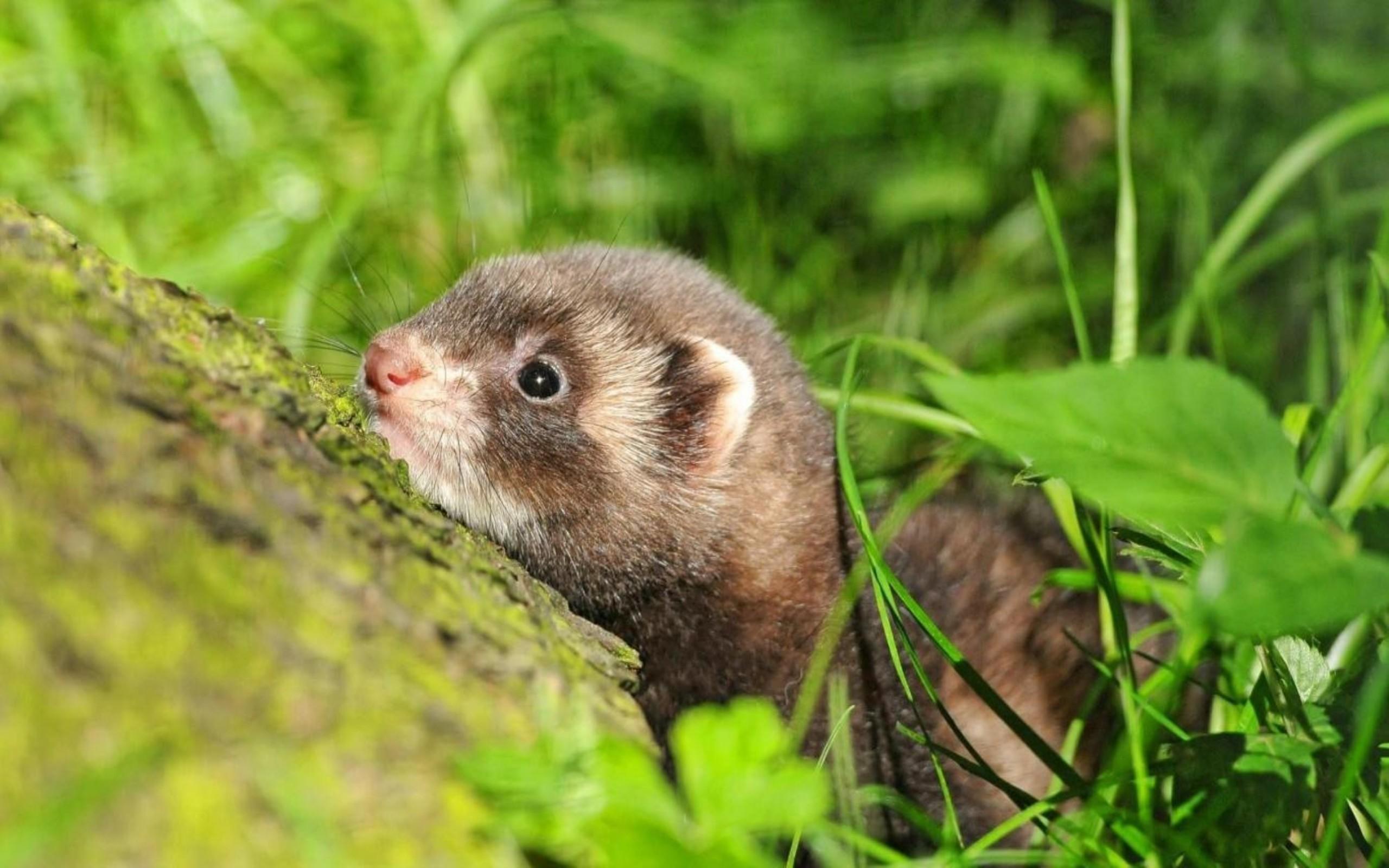 Res: 2560x1600, Ferret Mammals Baby Wallpaper