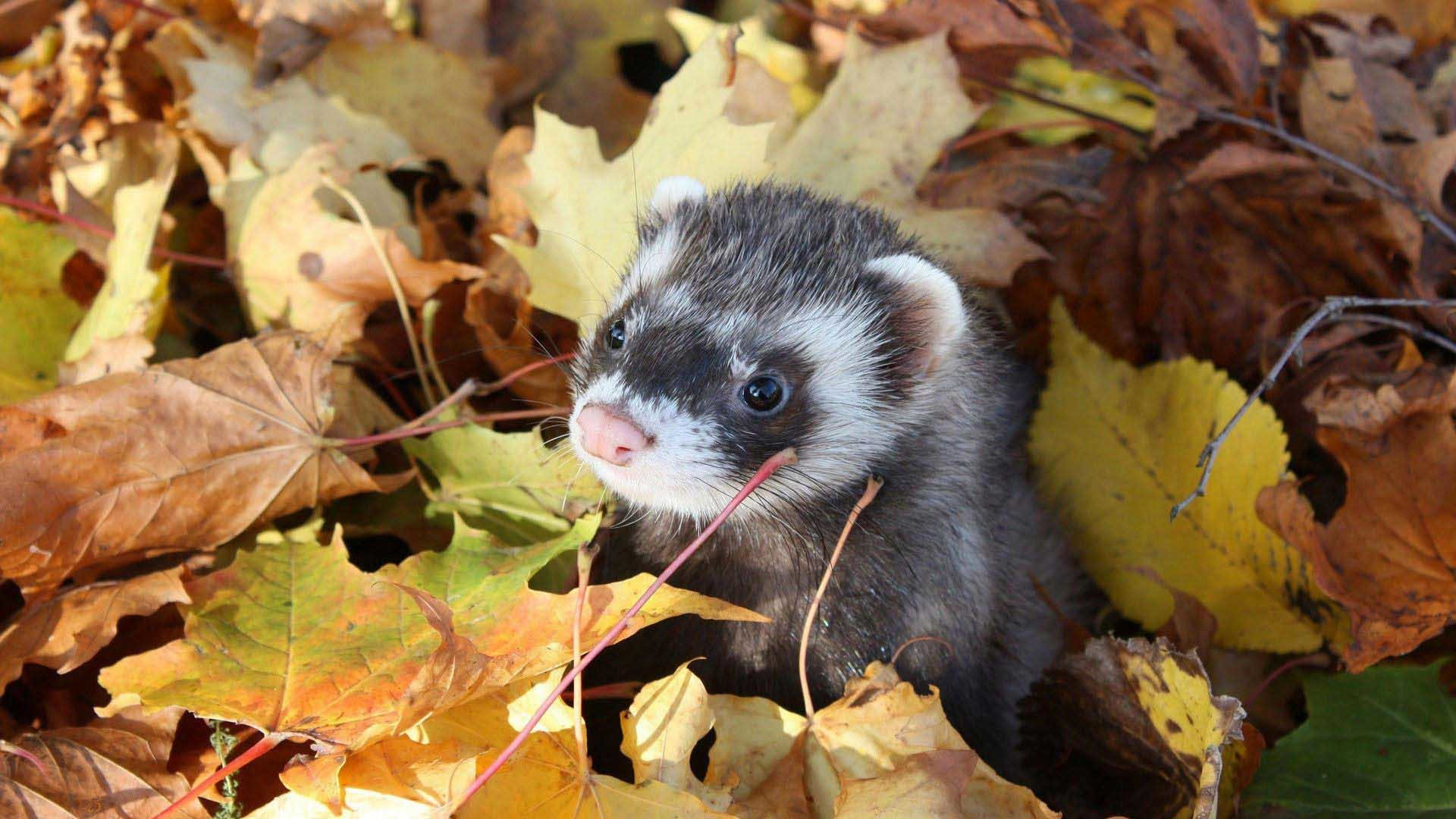 Res: 1920x1080, Animals Ferret In The Leaves Awesome Wallpaper