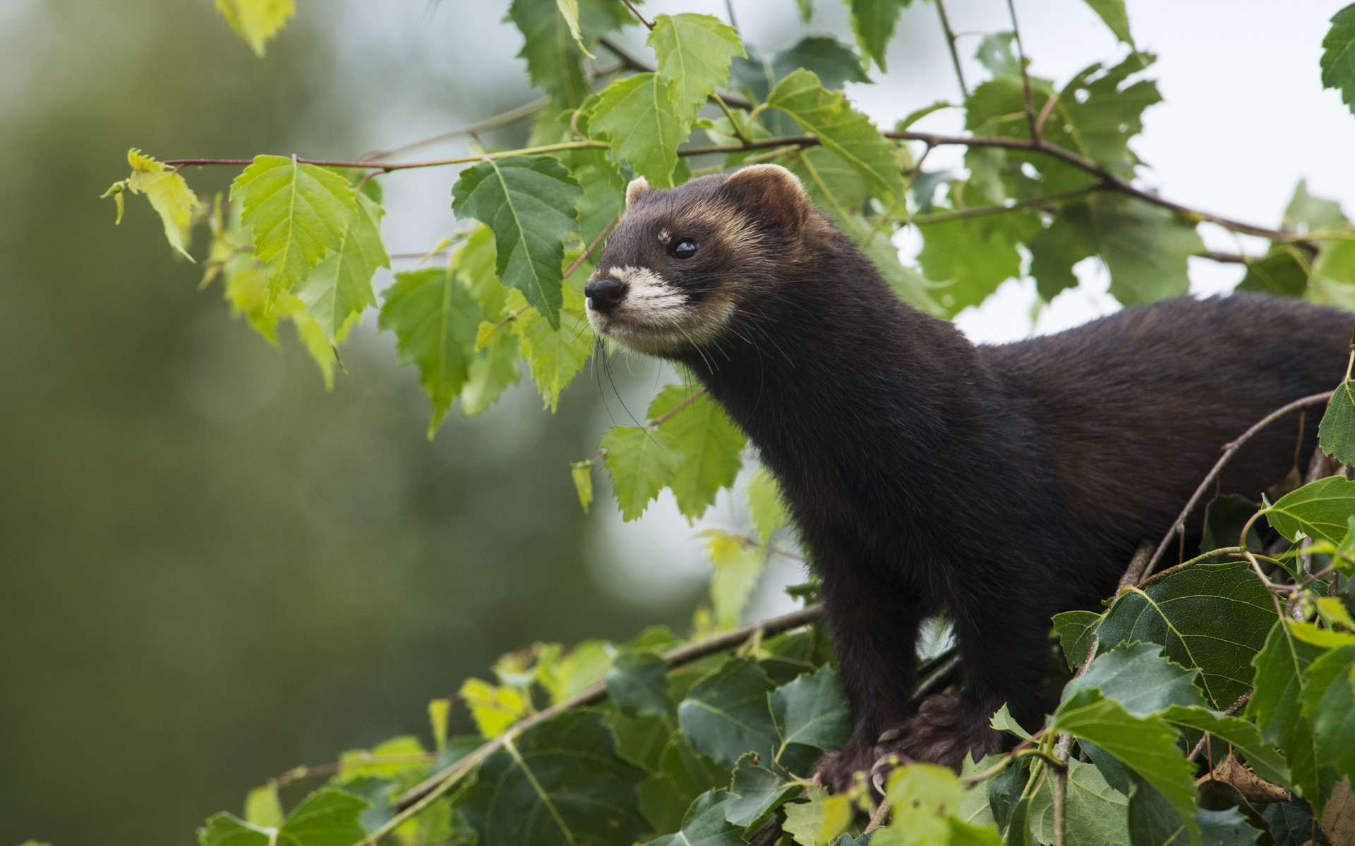 Res: 1920x1200, Ferret At Tree Wallpapers