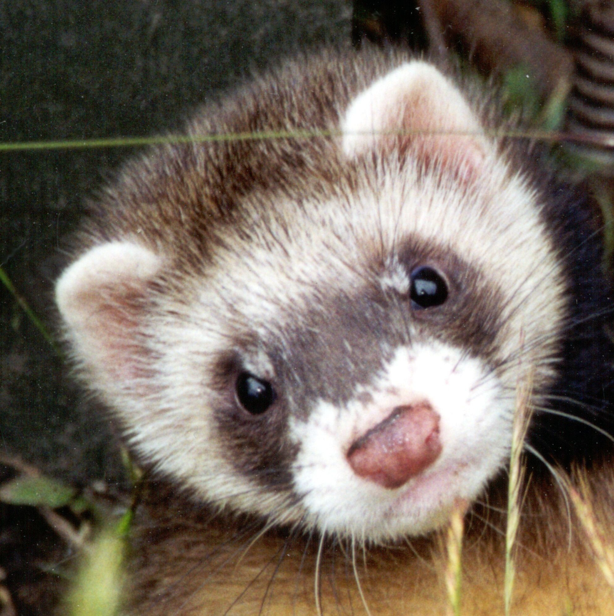 Res: 1986x1992, ferrets around the world. - Google Search