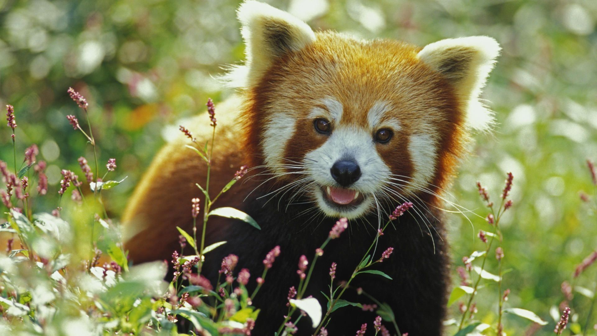 Res: 1920x1080, Red Panda Wallpapers 24 - 1920 X 1080