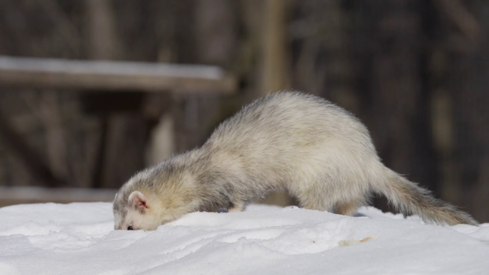 Res: 1920x1080, cute ferret walking on the snow low angle slowmo 4k Stock Video Footage -  Videoblocks
