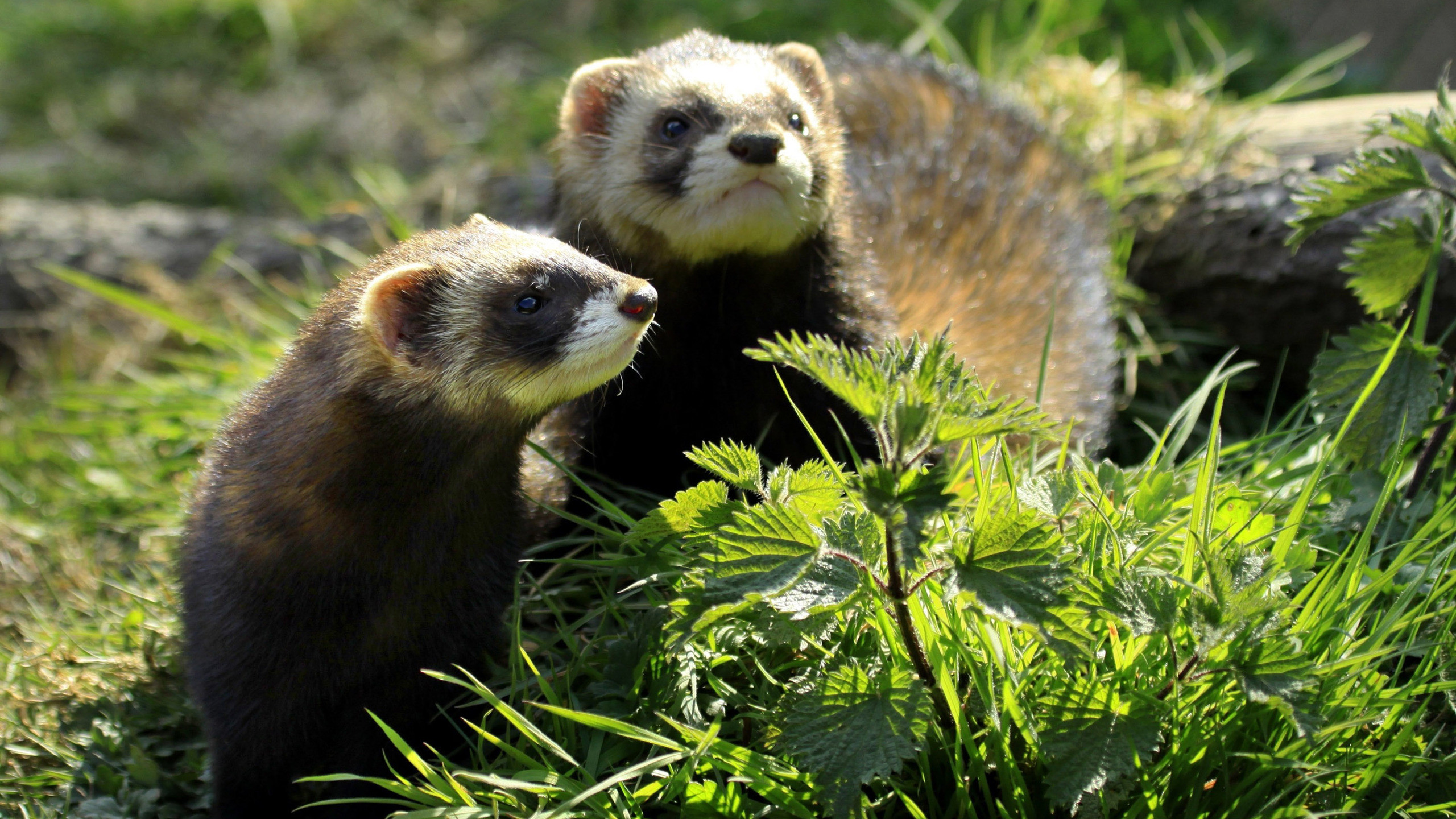 Res: 2560x1440, ... in the grass HD Wallpaper  Ferrets ...