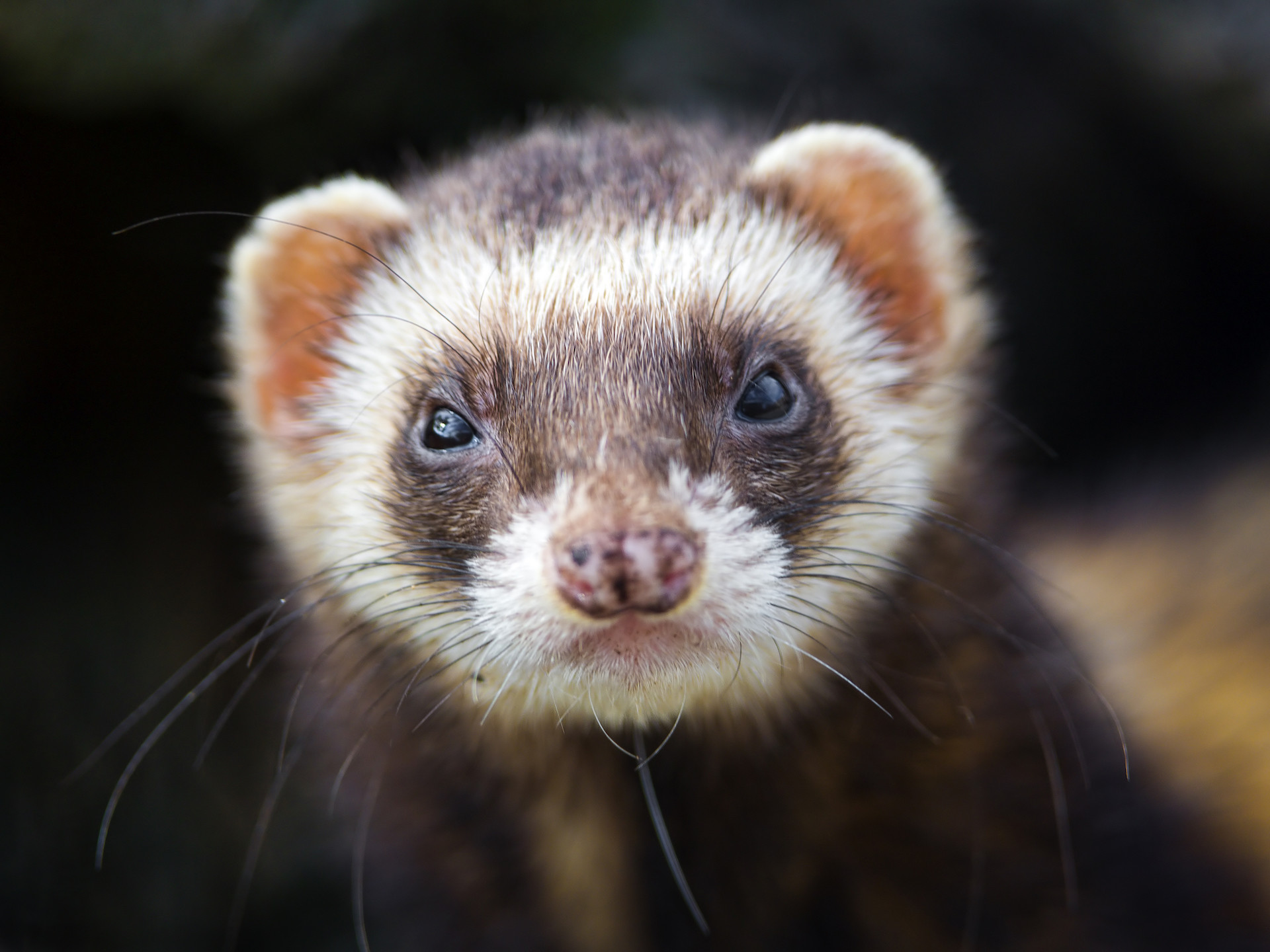 Res: 1920x1440, Endangered ferrets are being saved by drones that drop vaccine-laced M&Ms |  TechCrunch