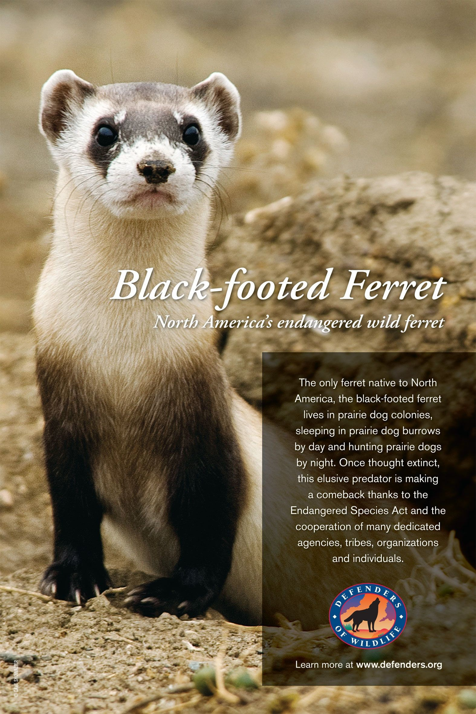 Res: 1575x2363, Black-Footed Ferret Endangered Species | black footed ferret
