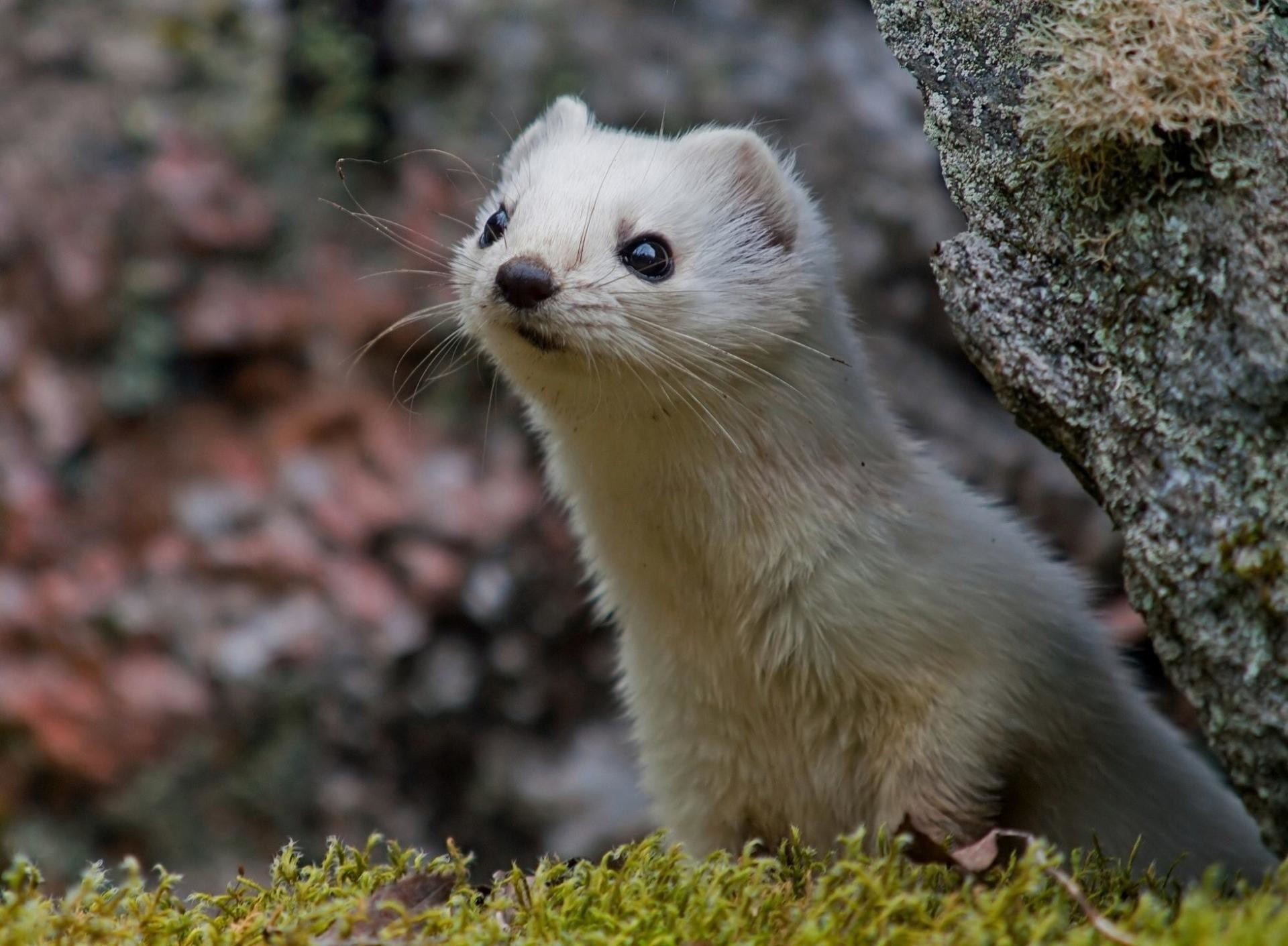 Res: 1920x1411, ferret wallpapers hd download
