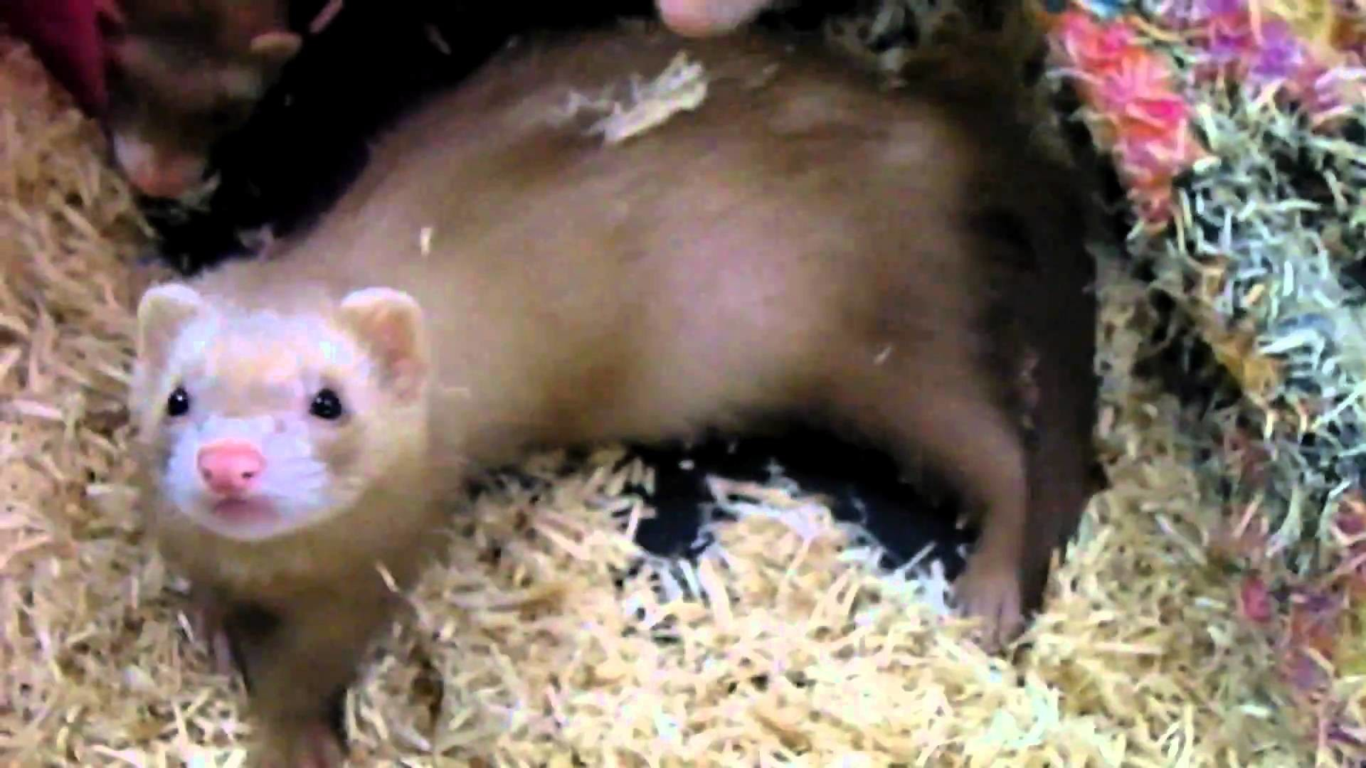 Res: 1920x1080, Ferret for sale