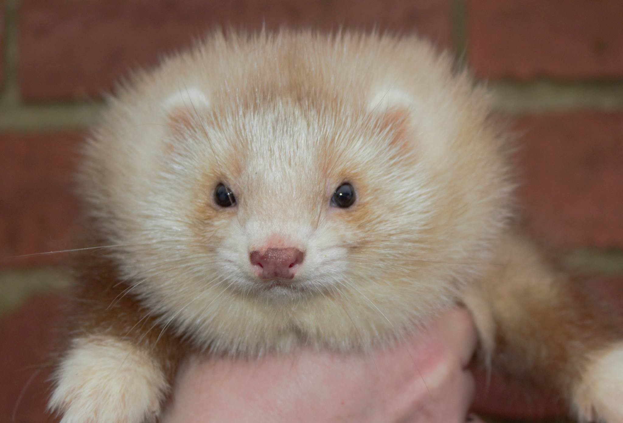 Res: 2048x1391, All about the angora ferret and how it came about