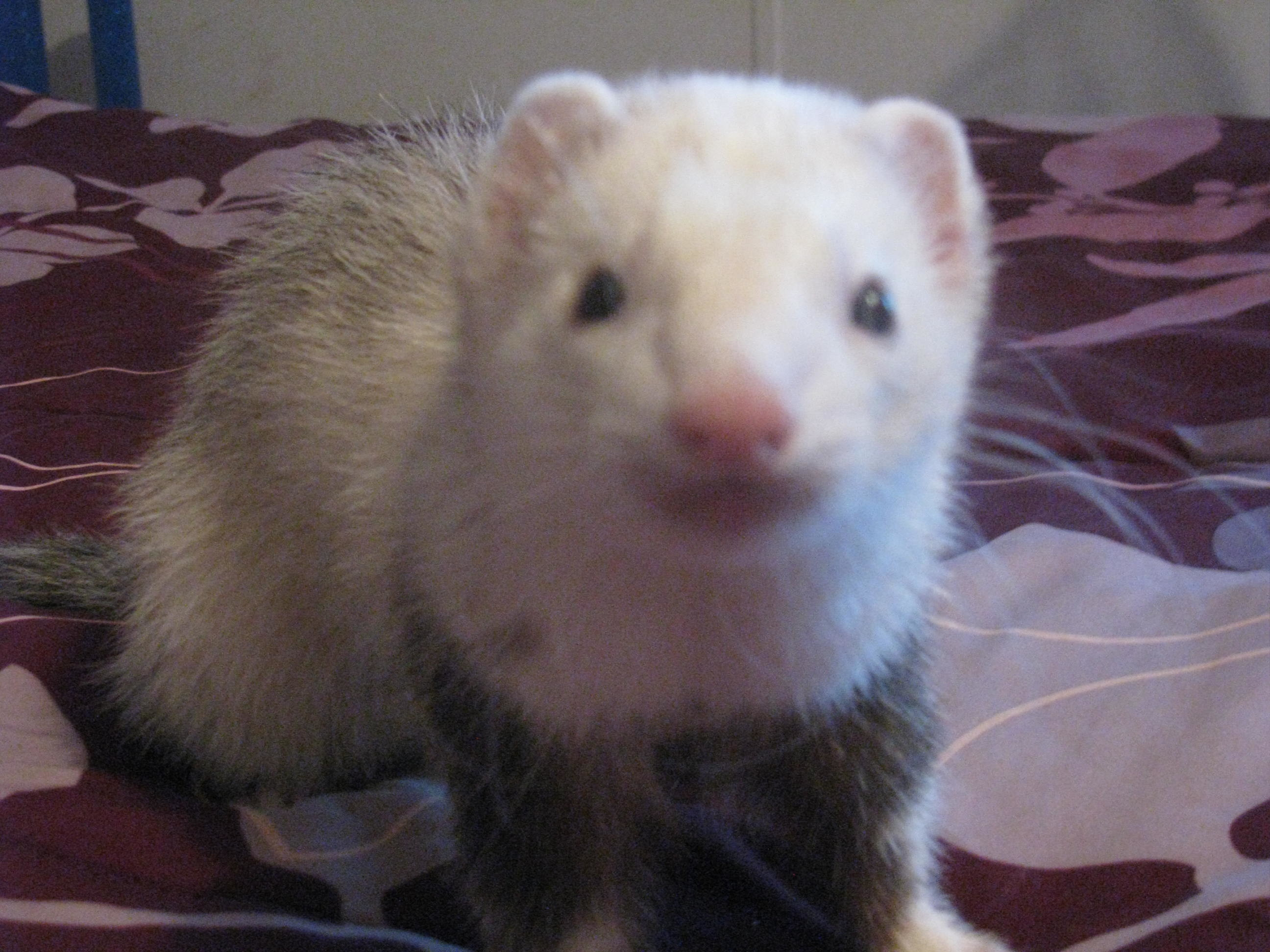 Res: 2592x1944, Albino Ferret Babies - Other &- Animals Background Wallpapers on .