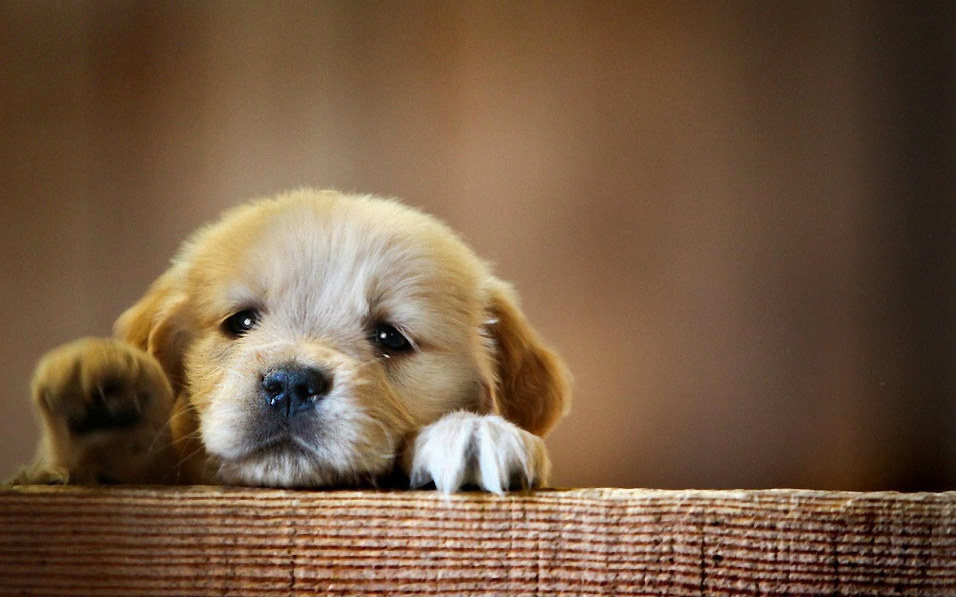 Res: 1920x1200, Cute Cute Baby Dog Desktop Wallpapers | Dogs Wallpapers – Hd Wallpapers  Plus Amazing Pets Wallpaper Desktop