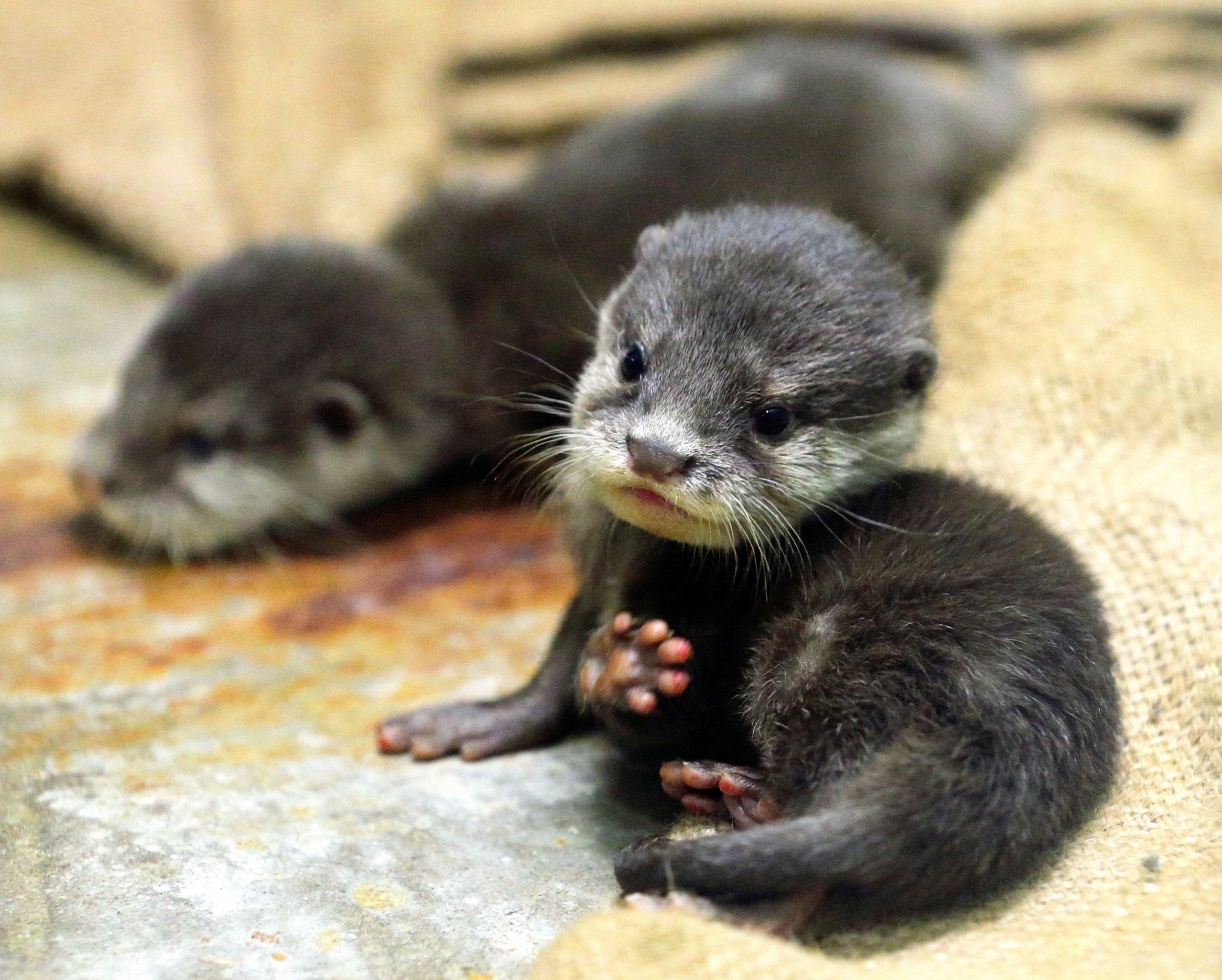 Res: 2500x2005, Images For > Cute River Otter