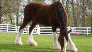 Clydesdale Horses wallpapers