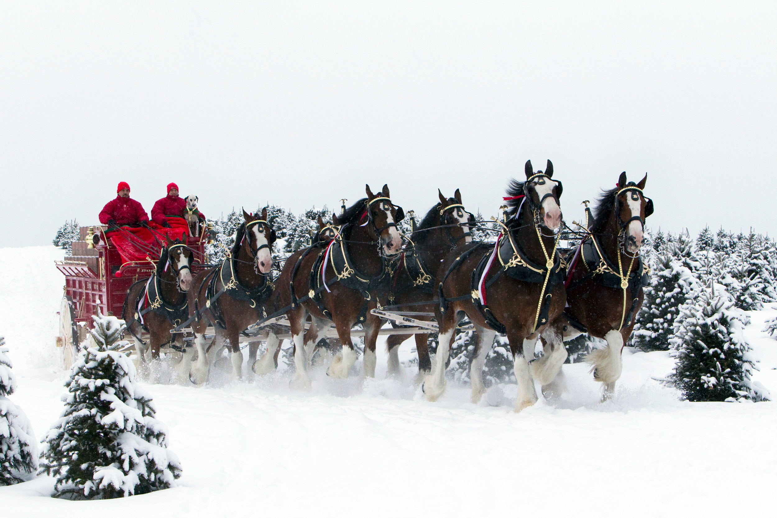 Res: 2500x1667, Photo: Budweiser Clydesdales In The Snow