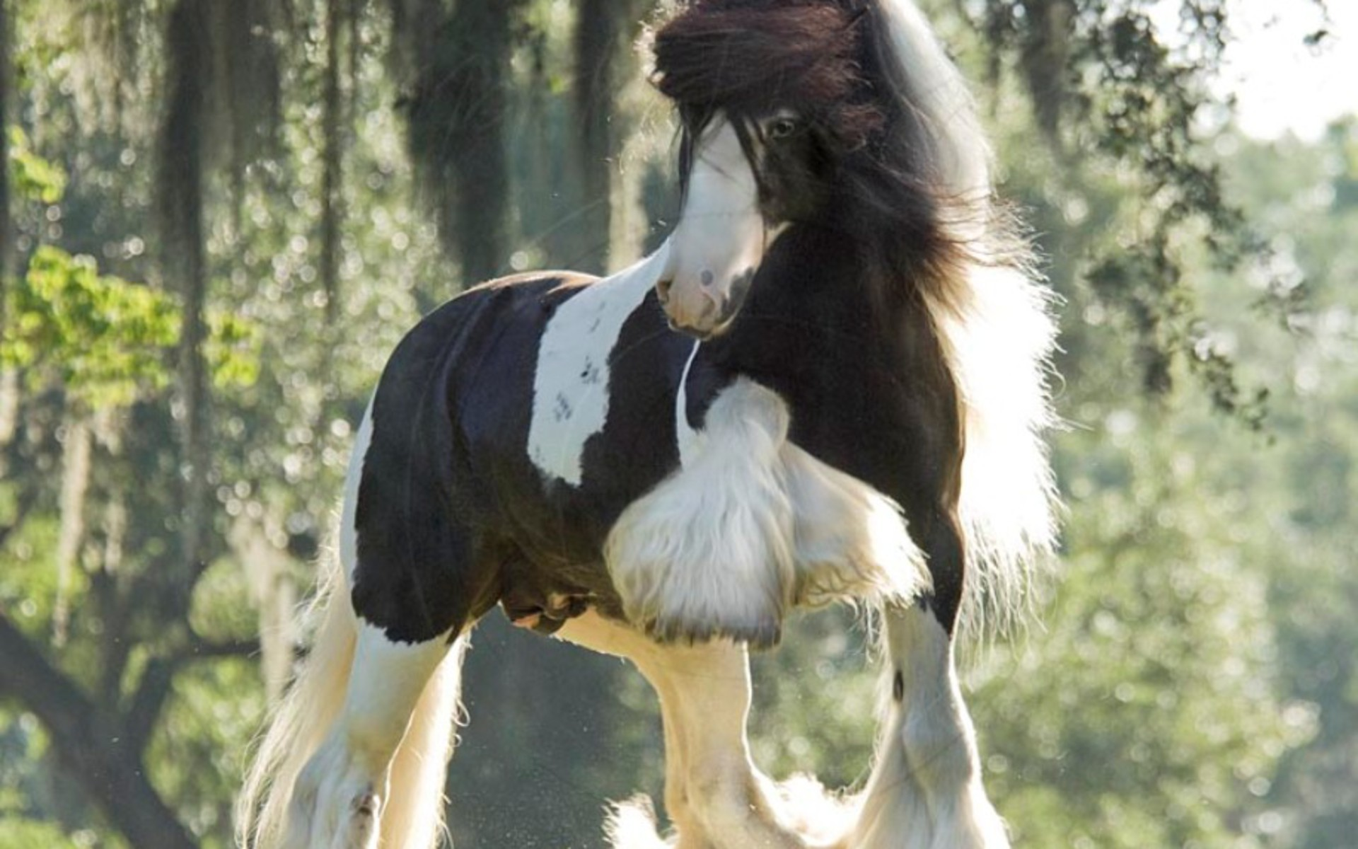 Res: 1920x1200, Wallpapers Horse Royal Set Of Horses Hd Gypsy Vanner Stallion .