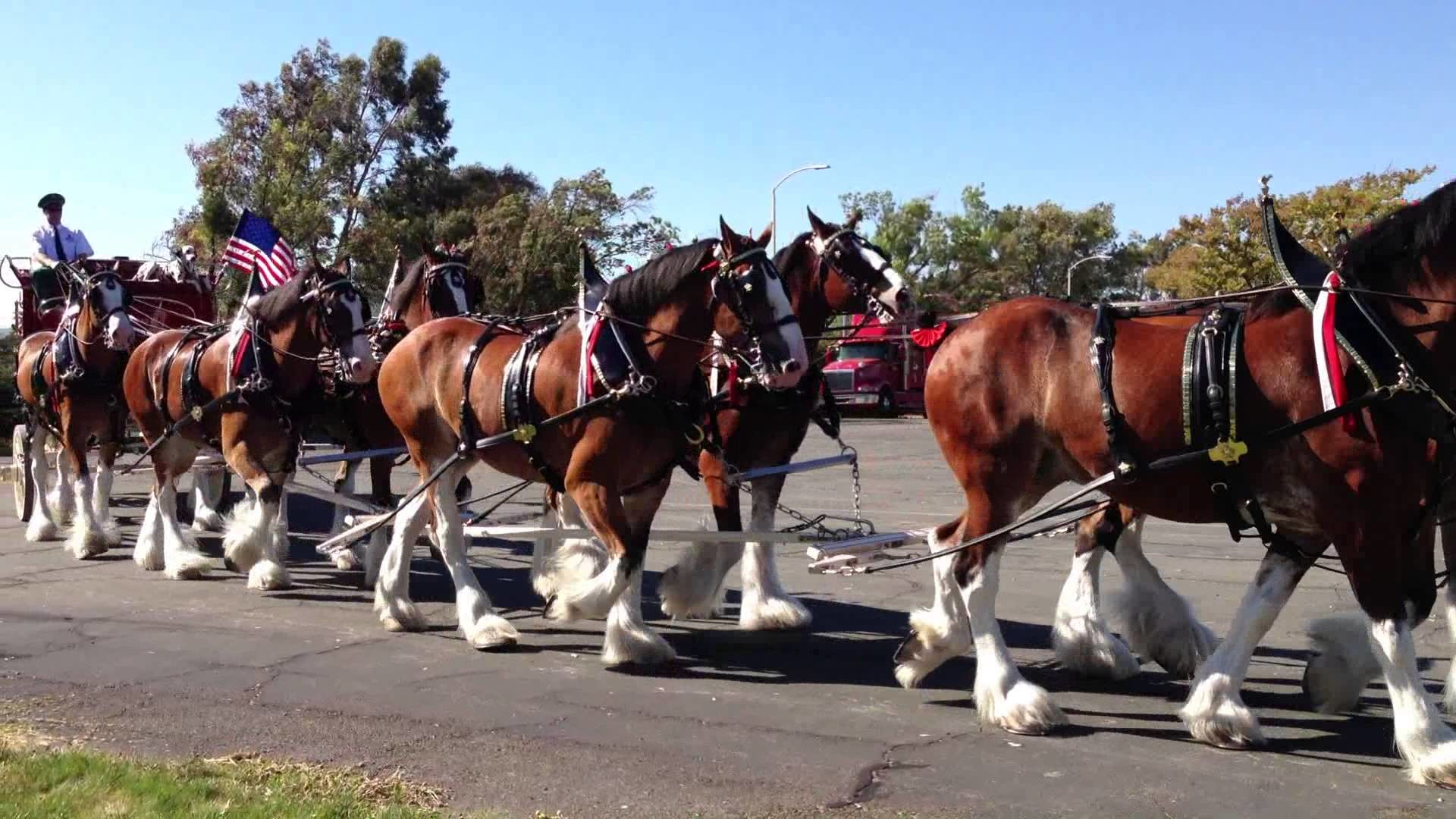 Res: 1920x1080, Budweiser Clydesdale Horses and Beer Carriage