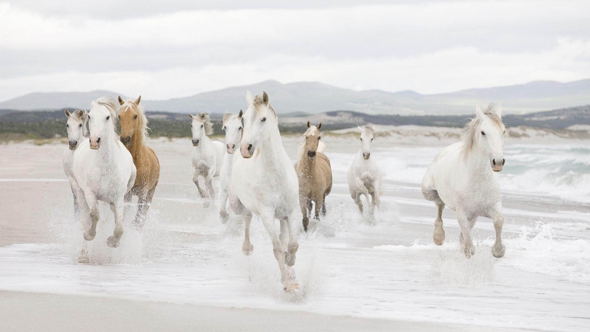 Res: 1920x1080, running white horse hd wallpaper seven white horses wallpaper 12