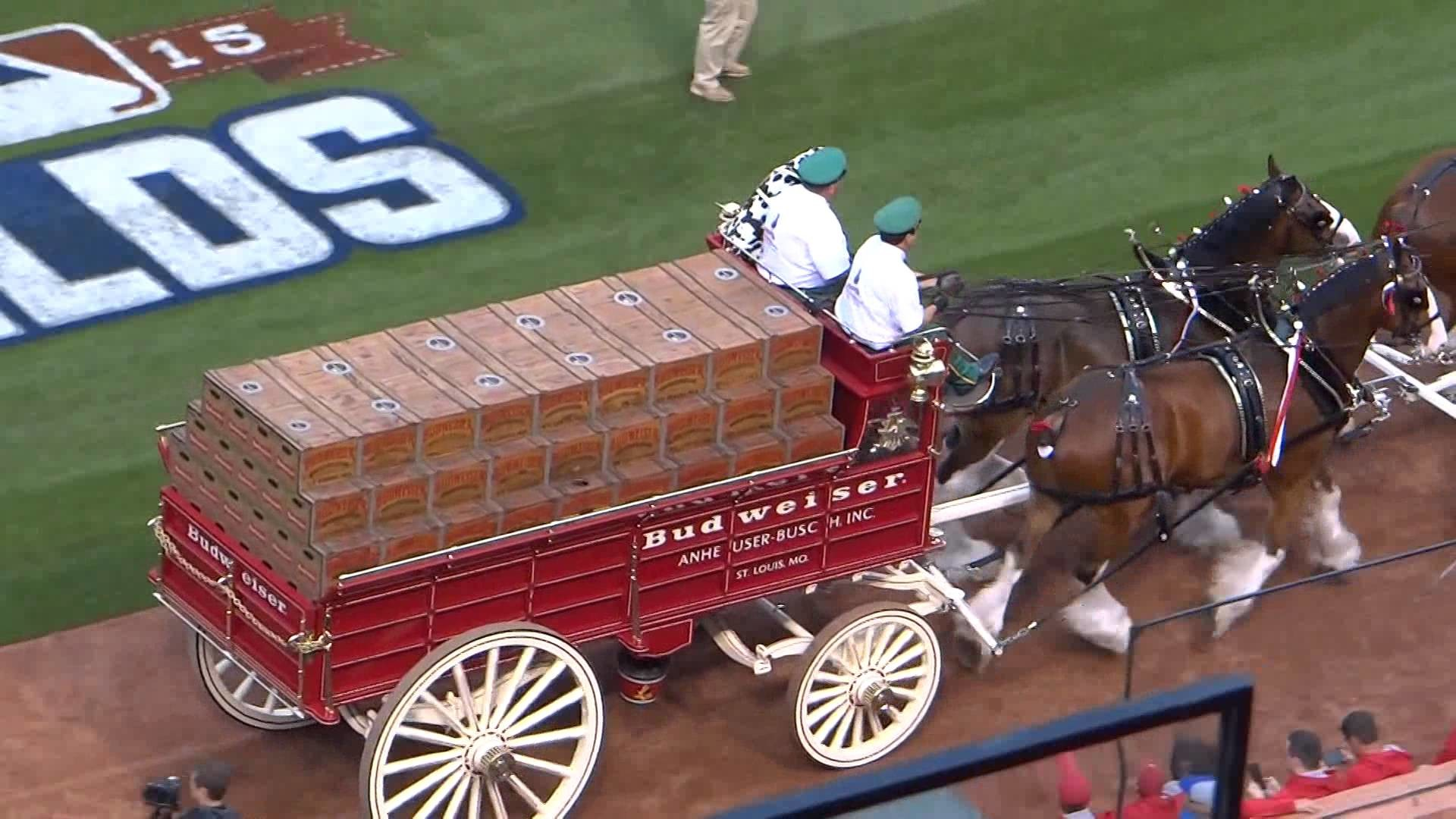 Res: 1920x1080, 2015 BUDWEISER CLYDESDALES BEFORE NLDS GAME #1 ST LOUIS CARDINALS VS  CHICAGO CUBS PLAYOFF GAME