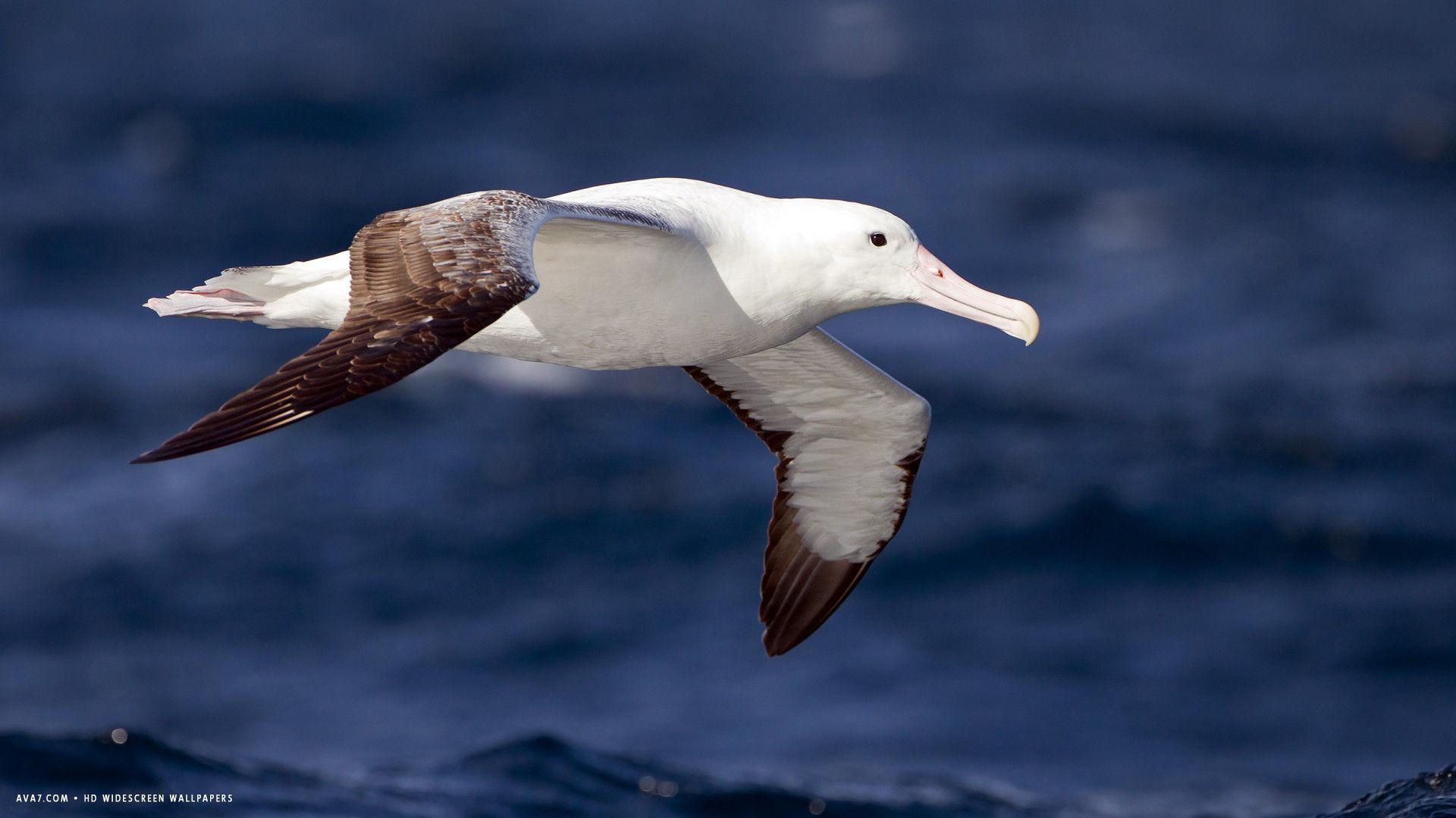 Res: 1920x1080, albatross southern royal seabird flight bird hd widescreen wallpaper