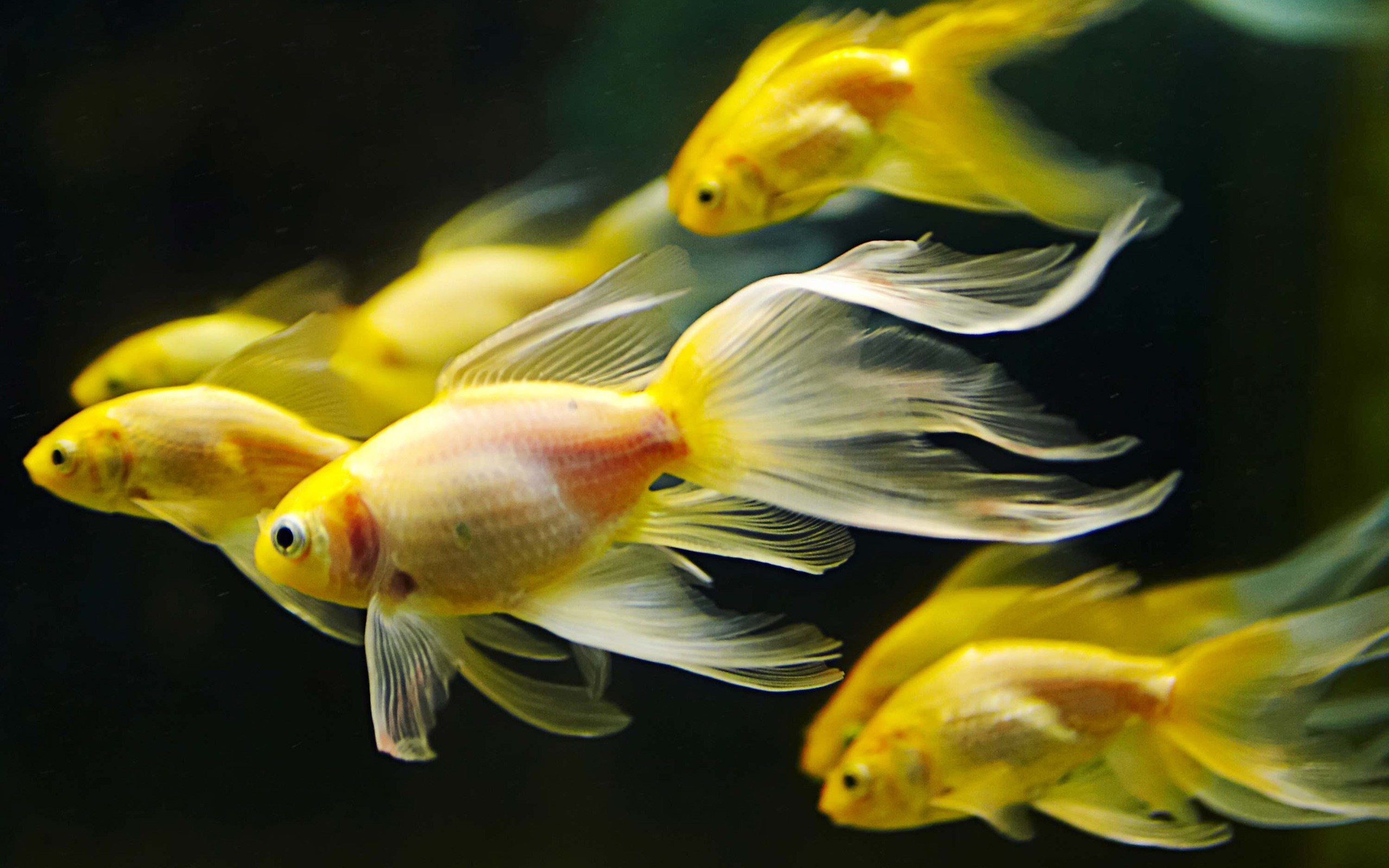 Res: 2560x1600, HD Wallpaper | Background Image ID:324834.  Animal Goldfish