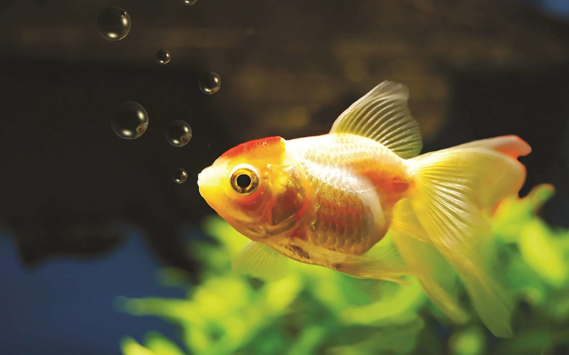 Res: 1920x1200, 10 Goldfish Wallpapers | Goldfish Backgrounds