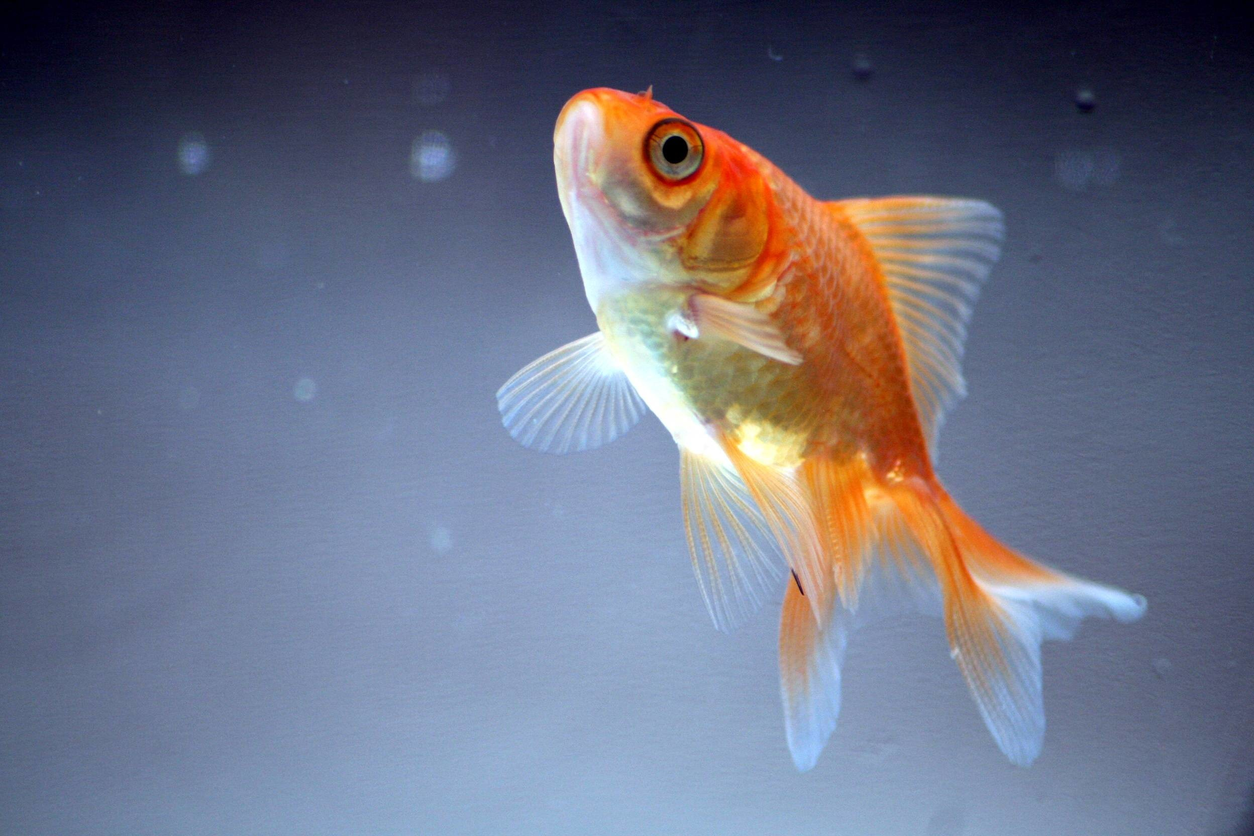 Res: 2496x1664, Wallpapers For > Goldfish Wallpaper For Desktop