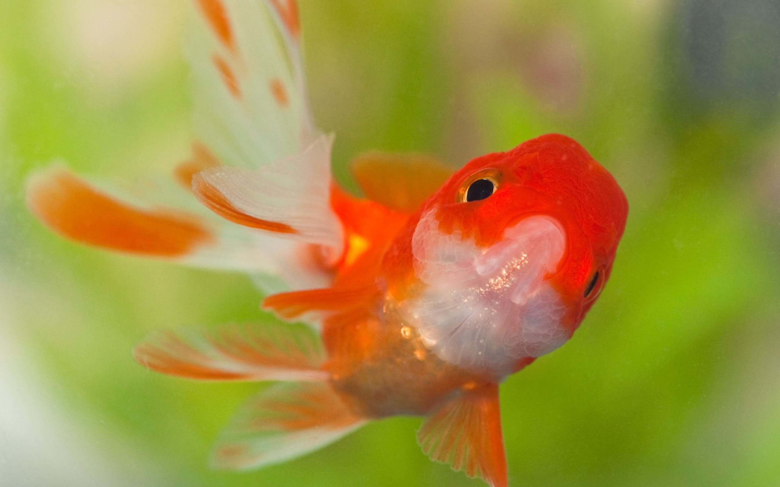 Res: 2560x1600, Goldfish Wallpapers 14 - 2560 X 1600