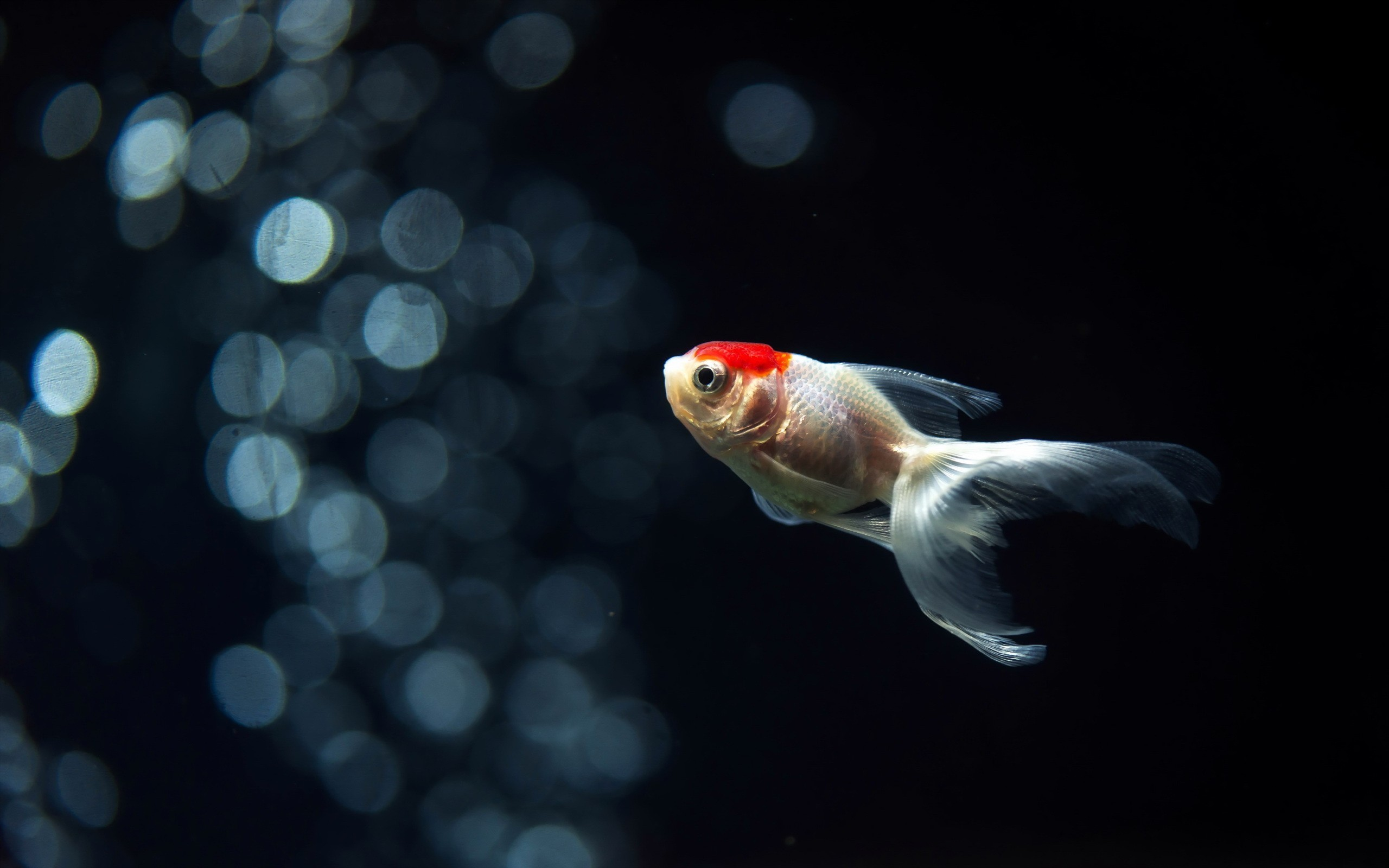 Res: 2560x1600,  HD Wallpaper | Background ID:708686 · Download · Goldfish ...
