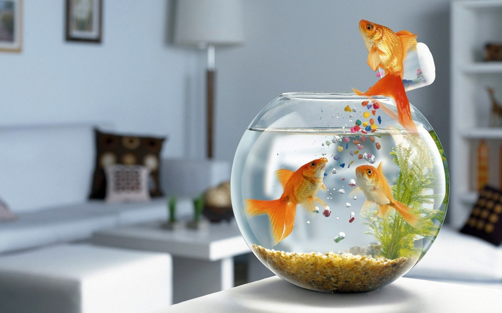 Res: 1920x1200, HD Wallpaper | Background Image ID:356256.  Humor Goldfish