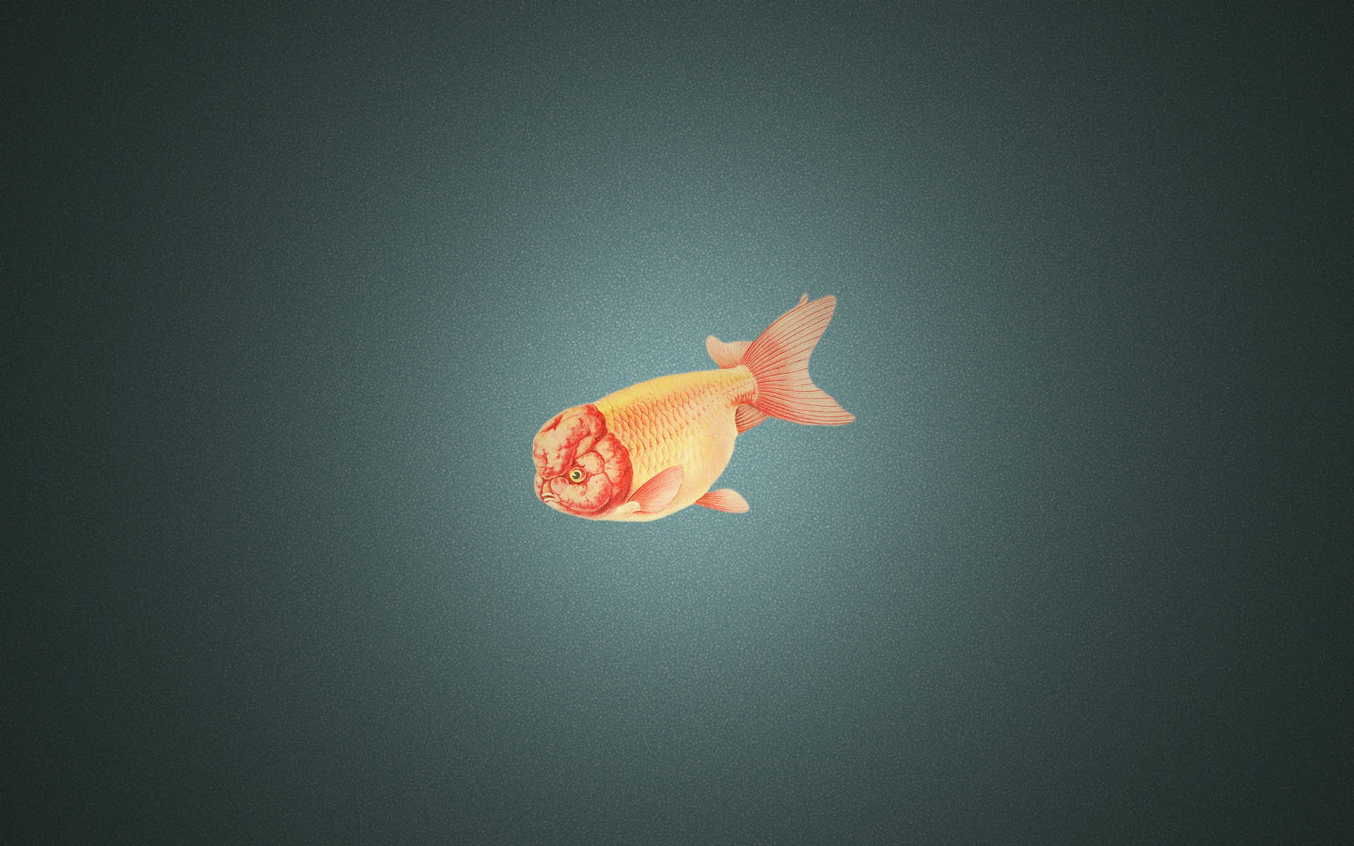 Res: 1920x1200, Image: Ranchu Goldfish wallpapers and stock photos. Â«